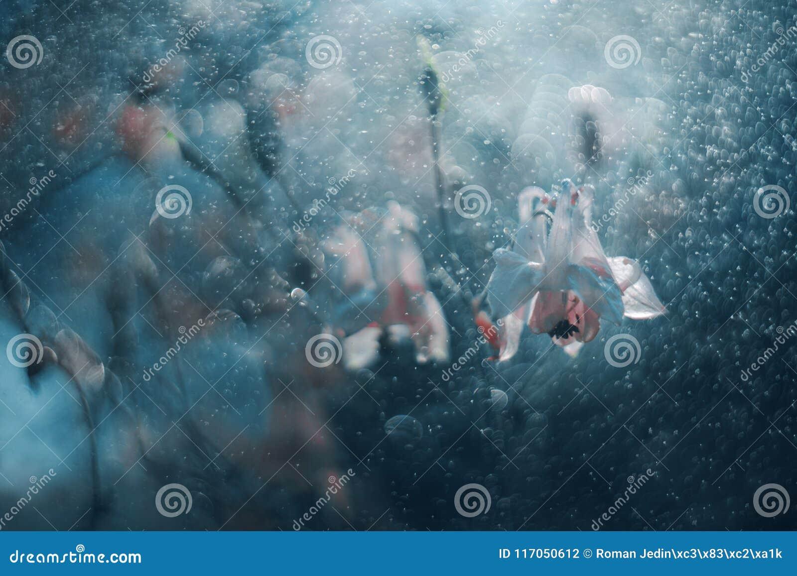 Bellflowers blancos en descensos del agua azul