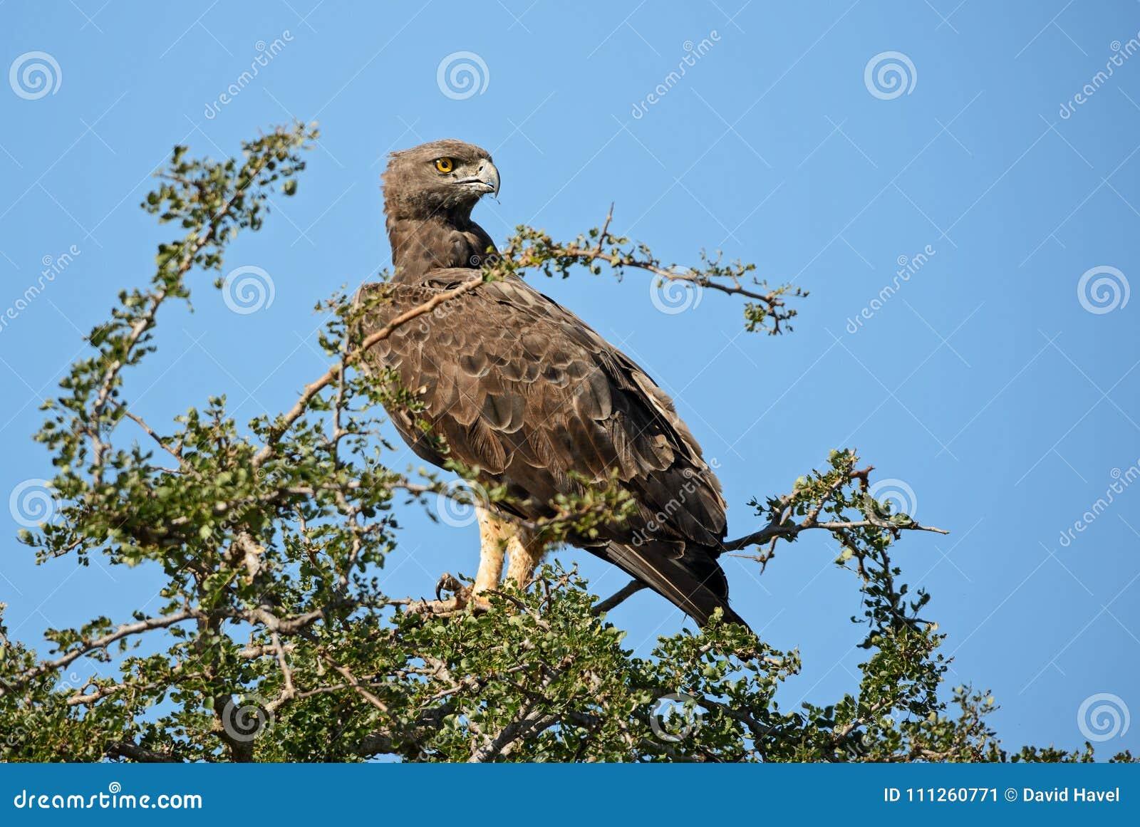 Bellicosus marcial de Eagle - de Polemaetus