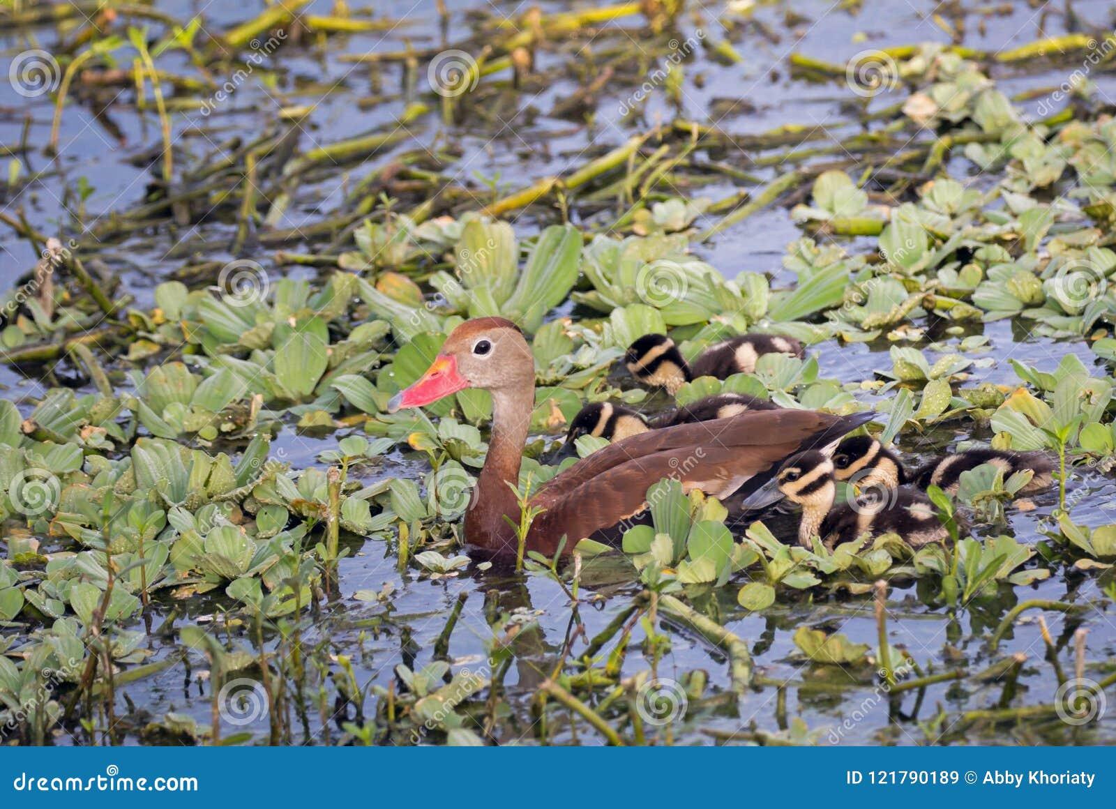 Bellied gwizdanie kaczka z dzieci kaczątkami
