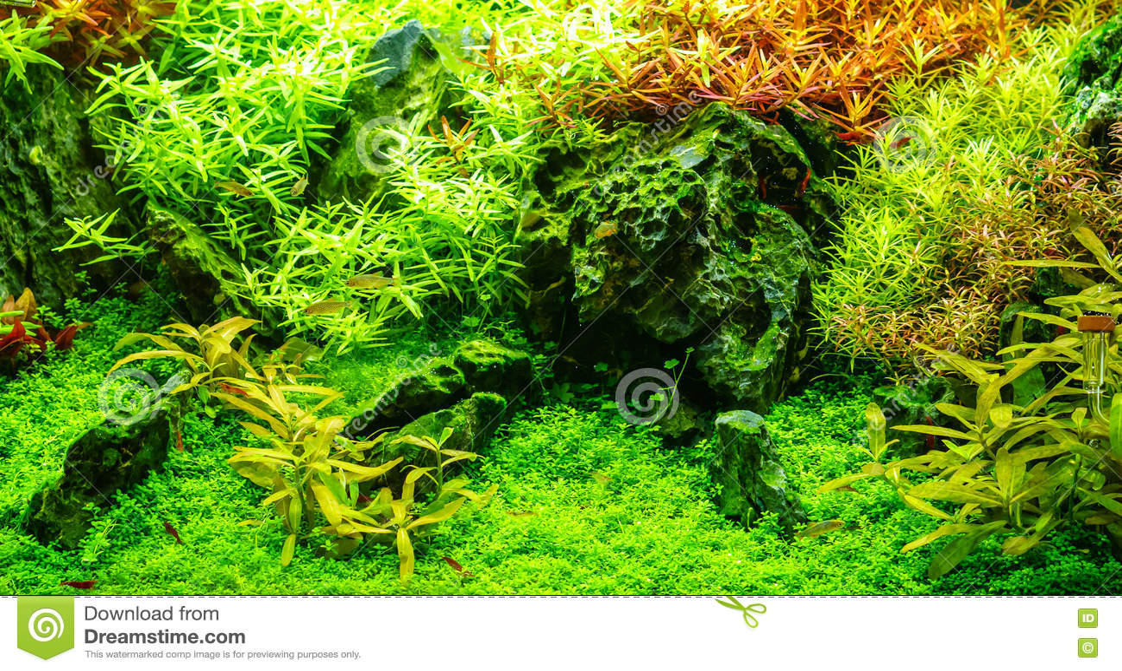Bello acquario d 39 acqua dolce tropicale piantato verde con for Acquario acqua dolce