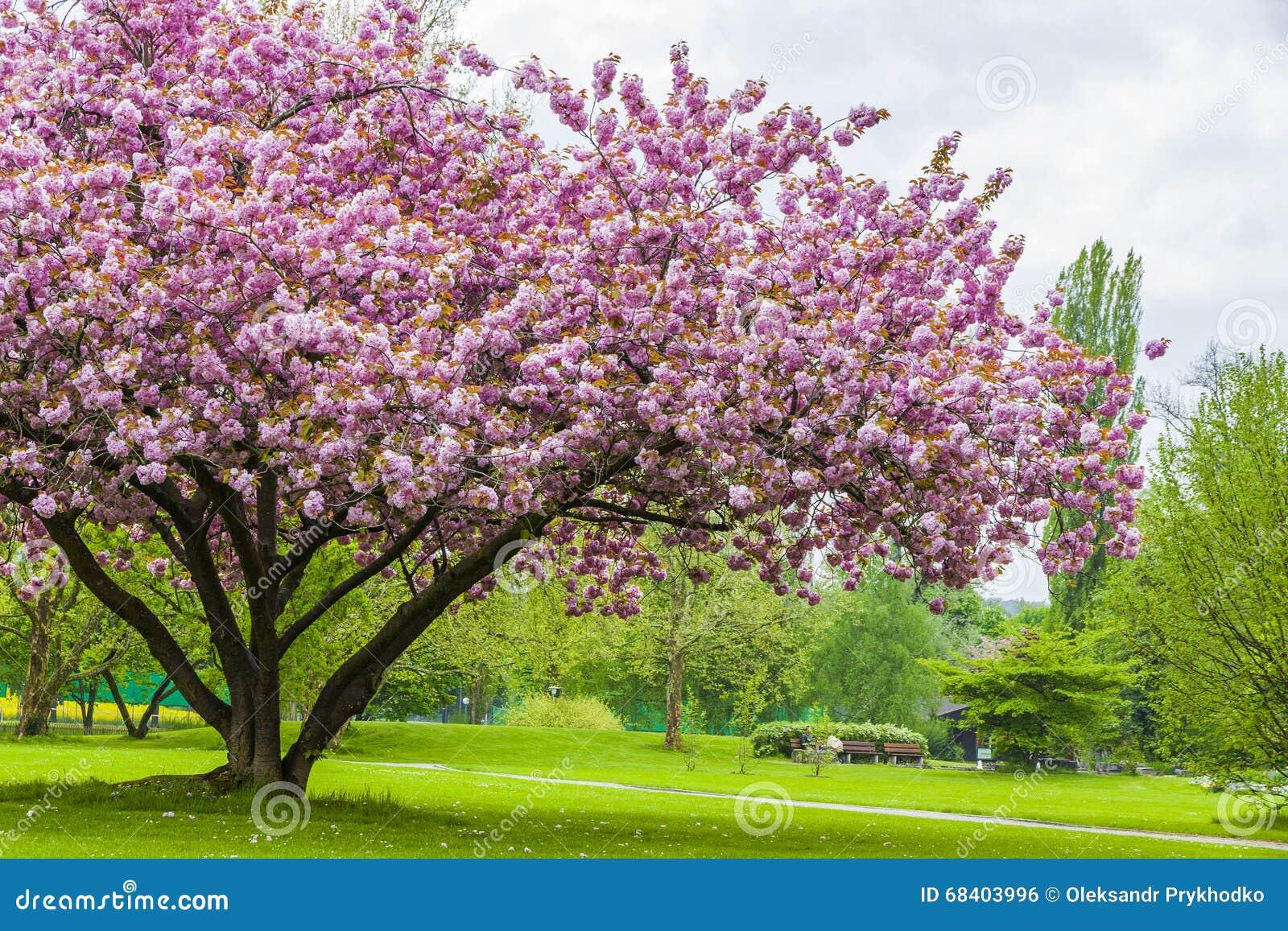 bello albero di sakura nel parco fotografia stock