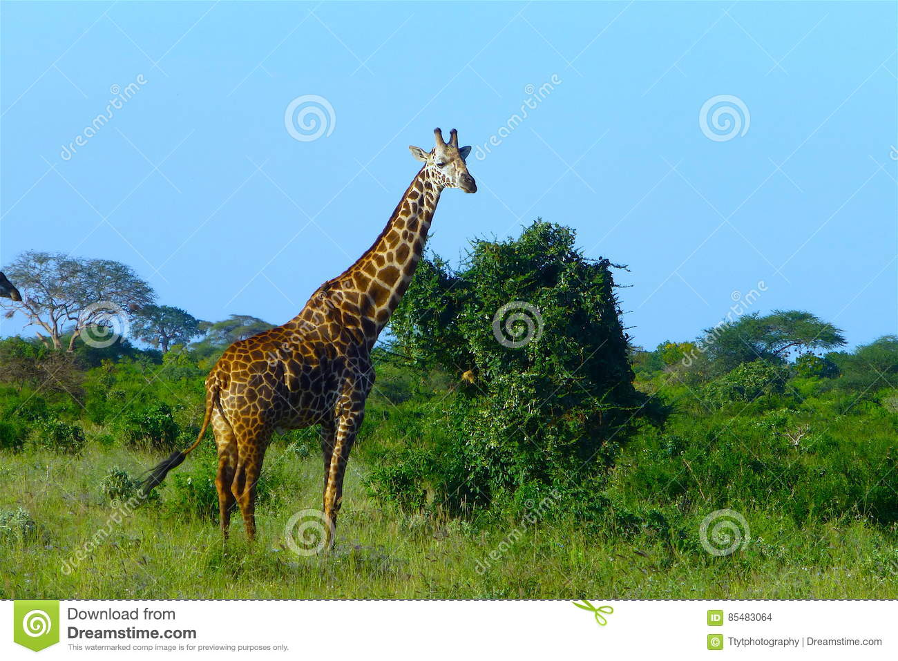 Bello animale del Kenya - la giraffa