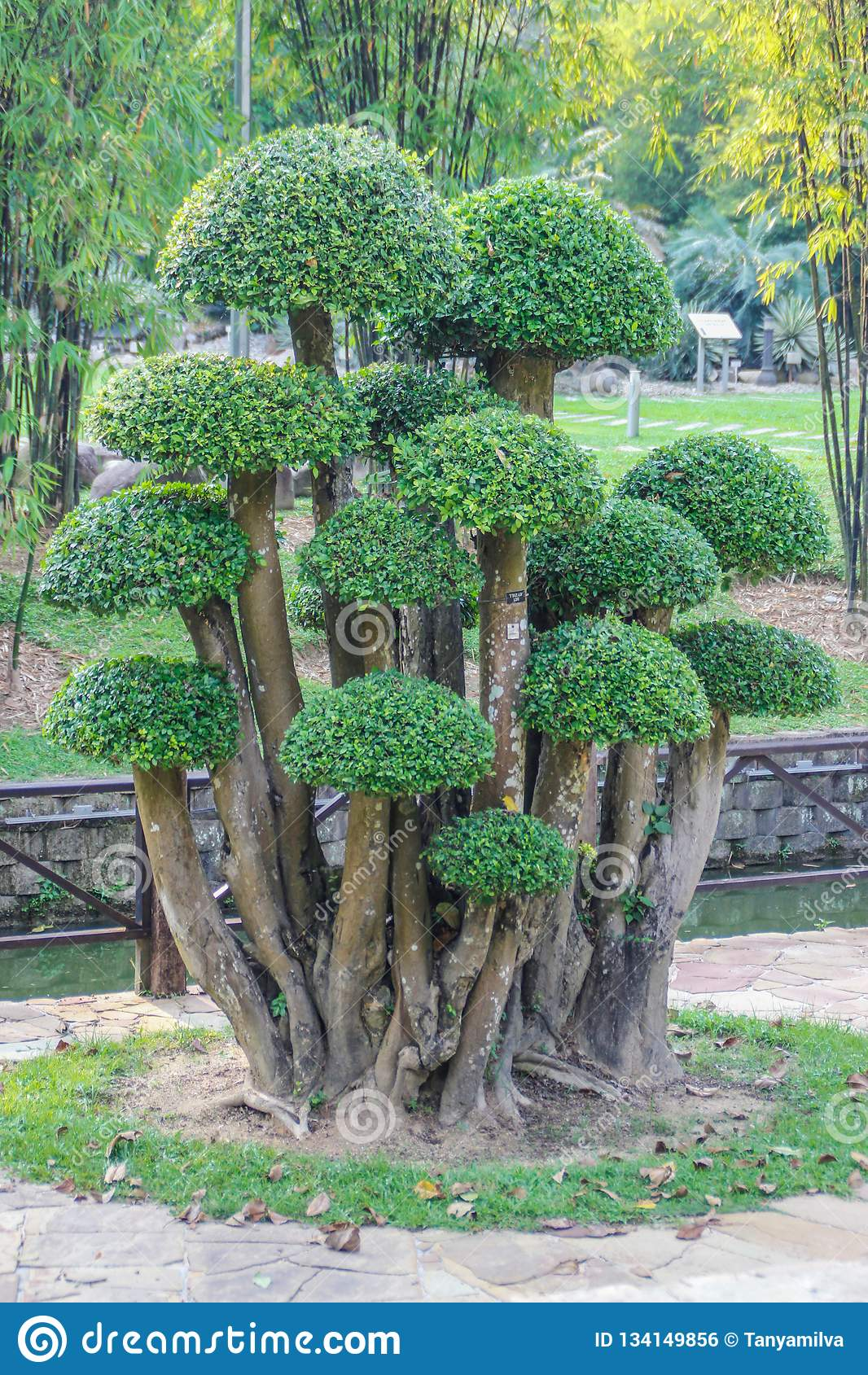 Bello arbusto del cespuglio del cespuglio ruvido siamese sotto forma di fungo