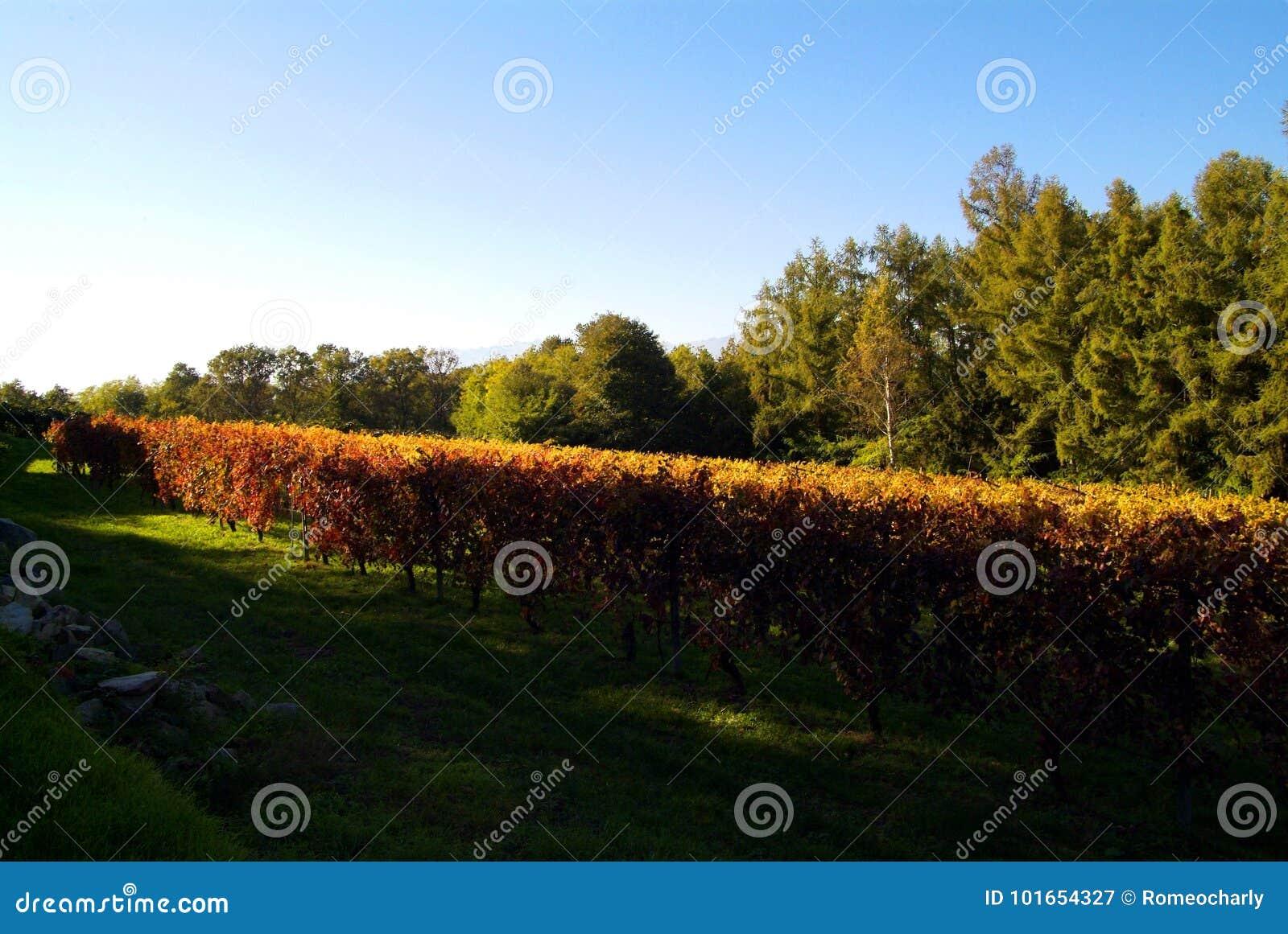 Bello Autumn Landscape With Multi-Colored Lines delle vigne delle vigne Autumn Color Vineyard