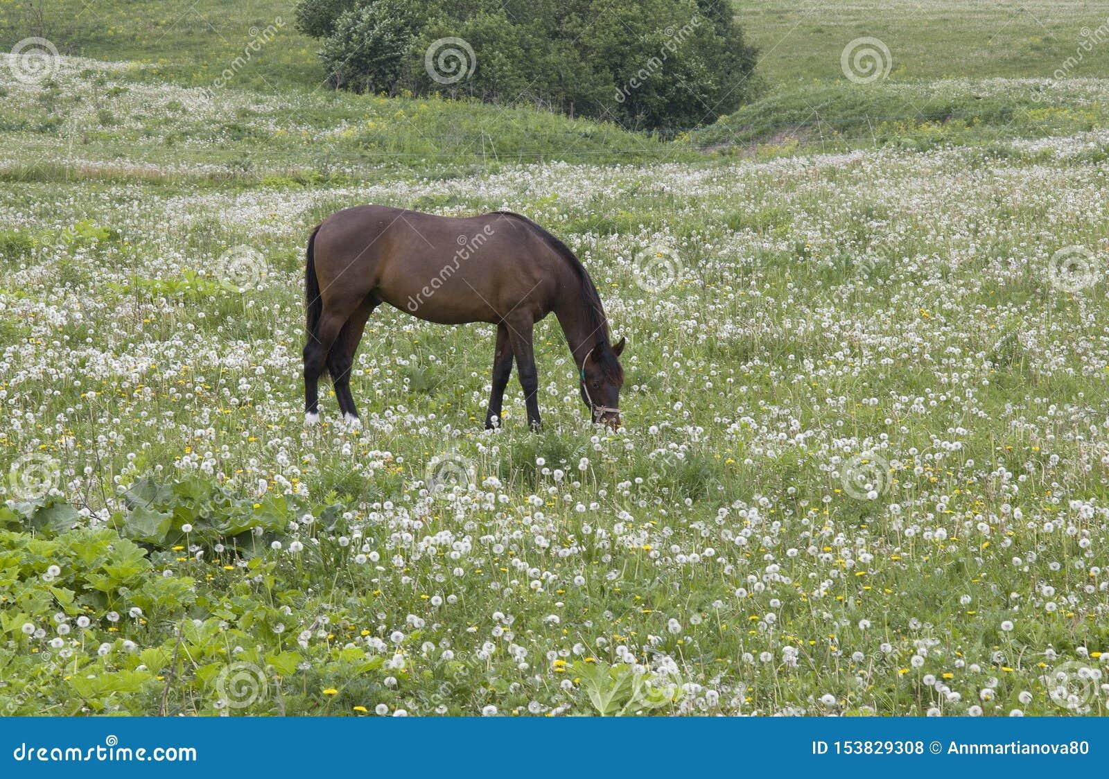 Bello cavallo sul campo dei denti di leone