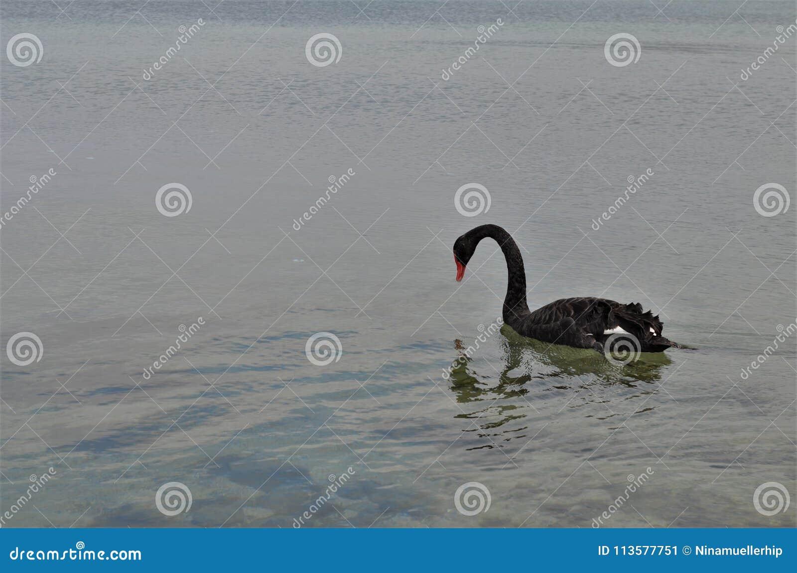 Bello cigno nero riflesso in acqua