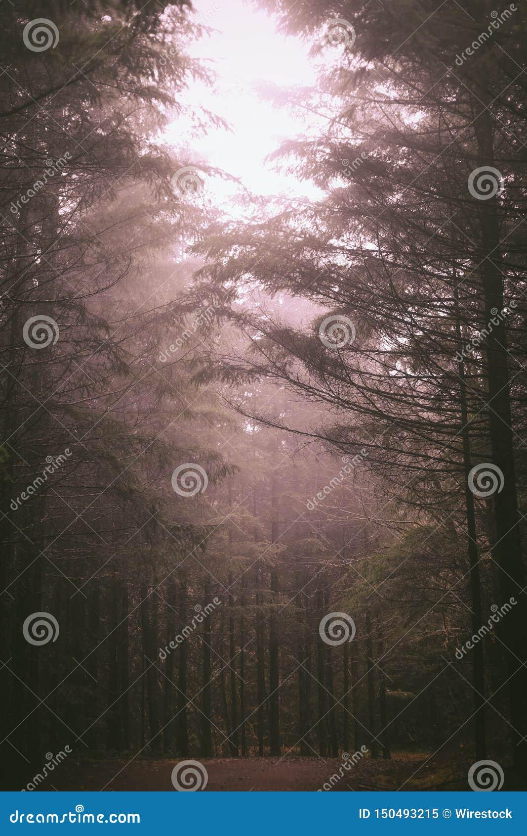 Bello colpo di una foresta scura con gli alberi alti con il cielo luminoso che splende nel mezzo