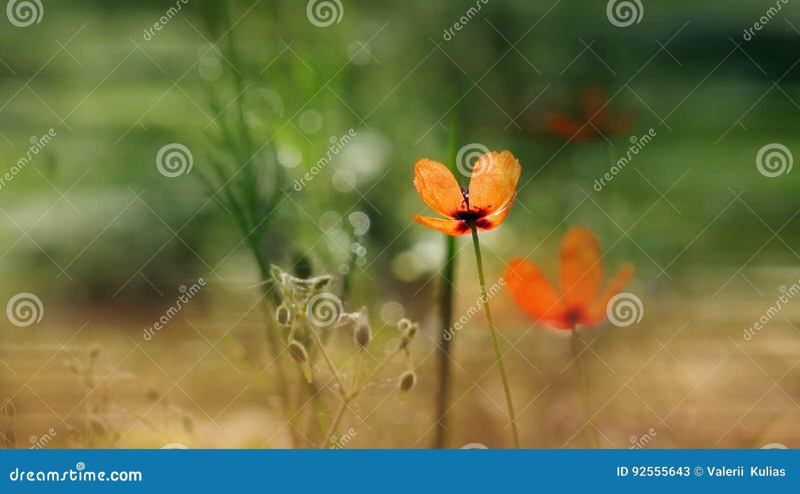 Bello, delicato, papavero di campo Papavero rosso su un fondo verde