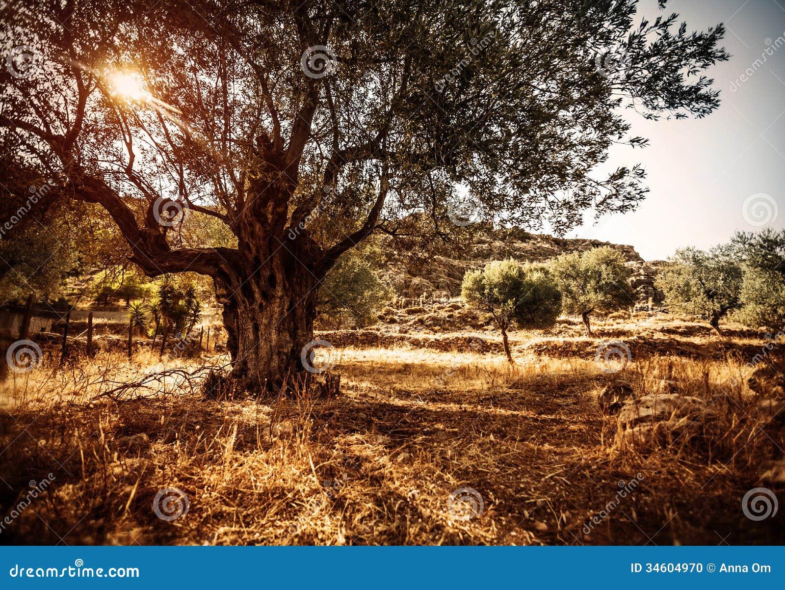 Bello di olivo fotografia stock immagine di alimento for Acquisto piante olivo
