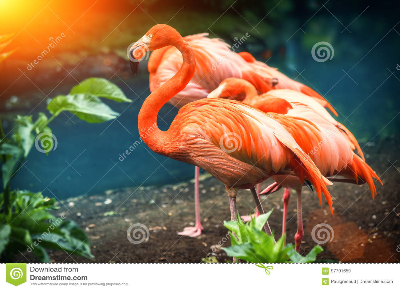 Bello fenicottero rosa che sta al bordo dell acqua Backgroun animale
