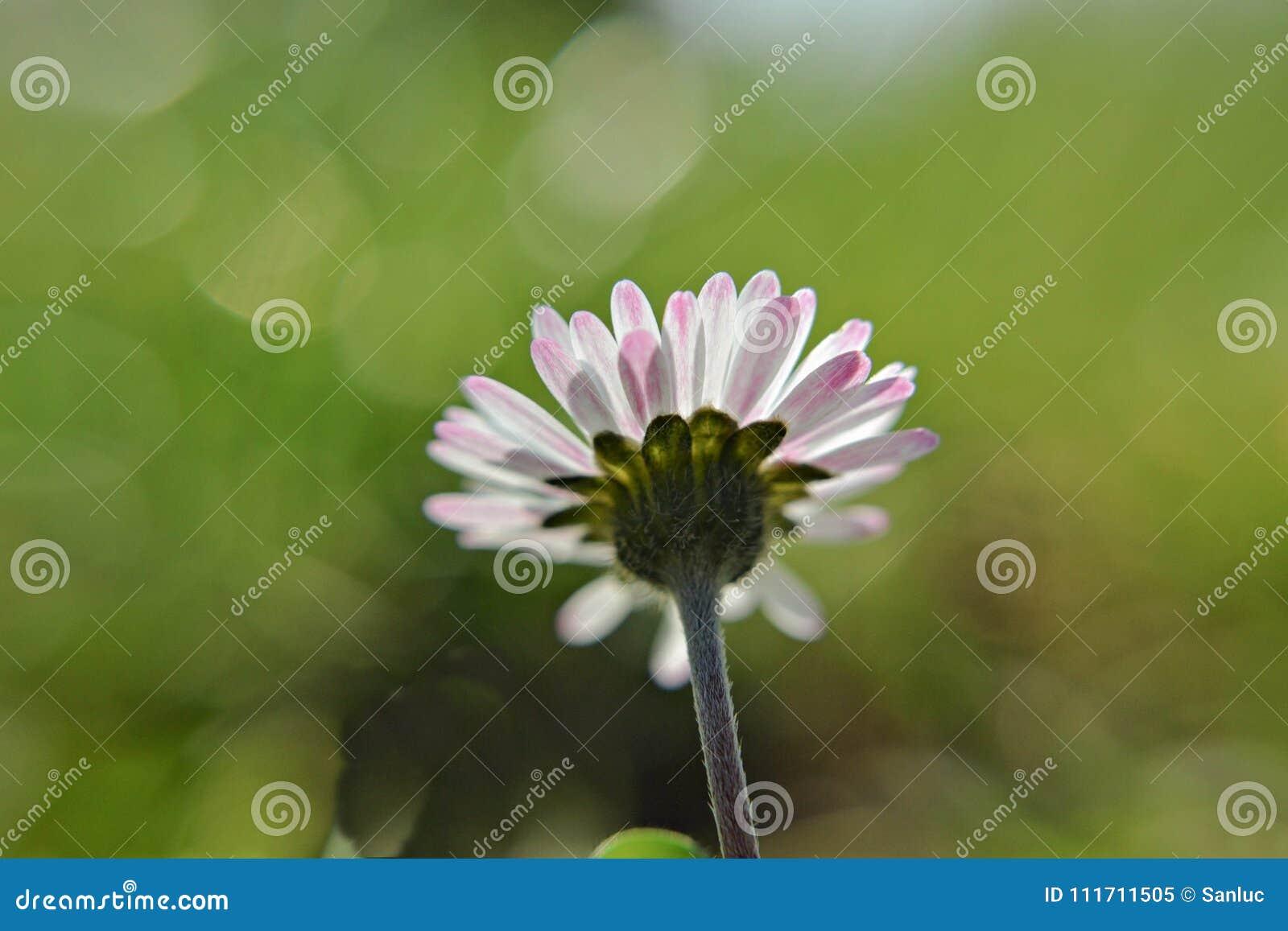 Bello Fiore Bianco Della Margherita Della Camomilla Nel Campo Di