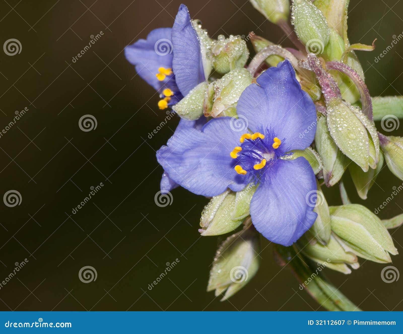 Bello fiore blu della miseria fotografia stock libera da for Pianta della miseria