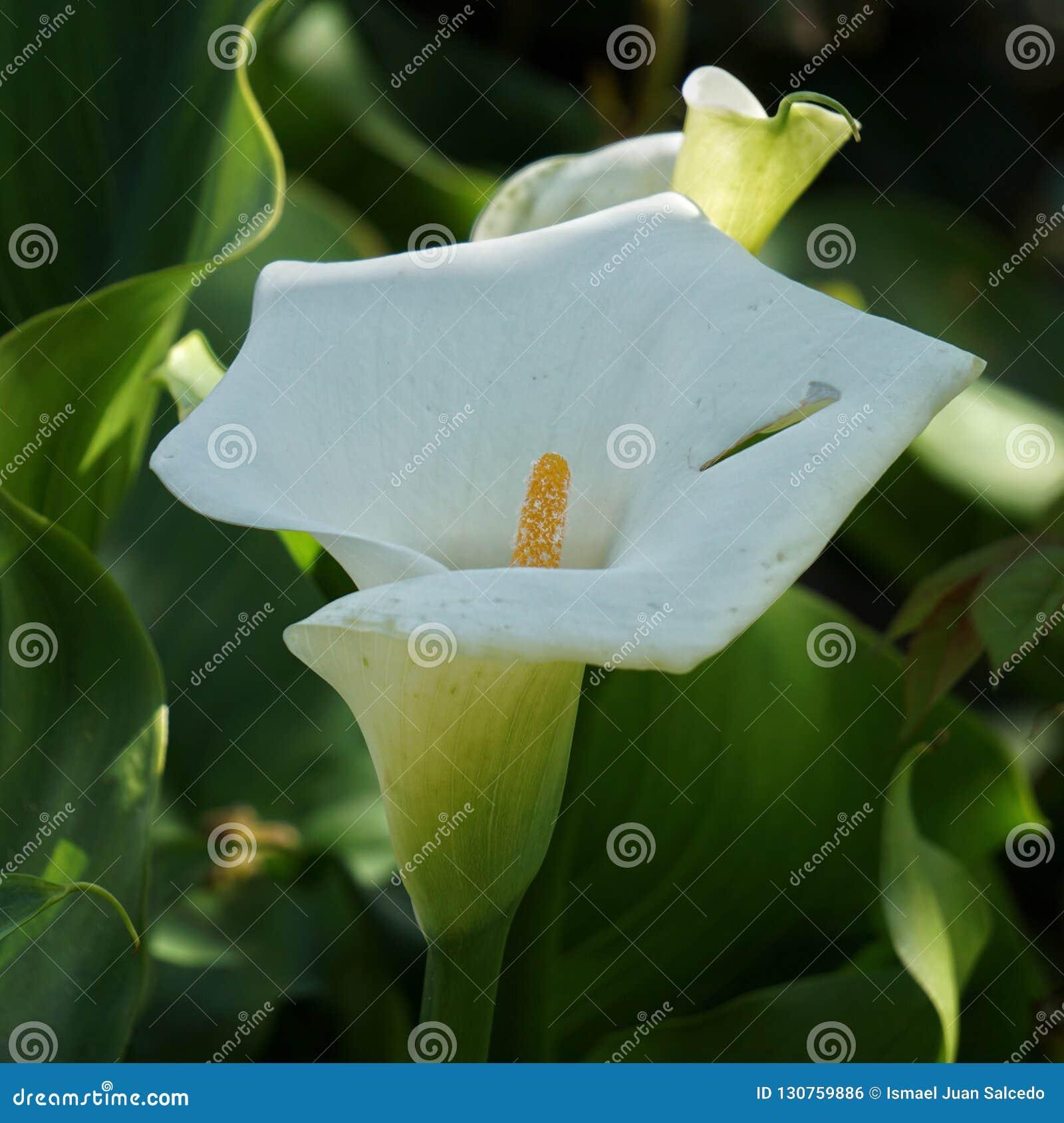Bello fiore della calla nel giardino