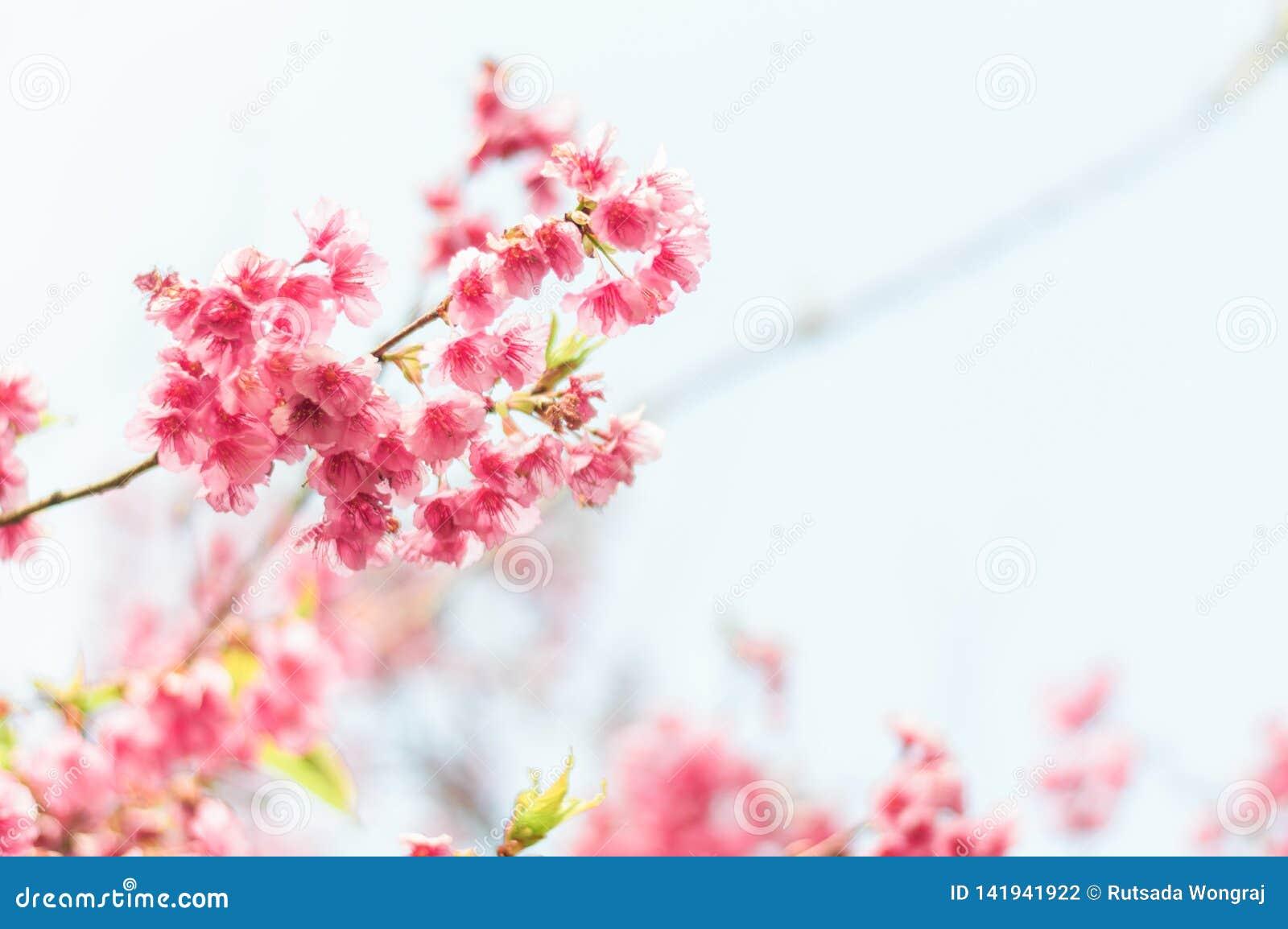 Bello fiore di ciliegia rosa sakura