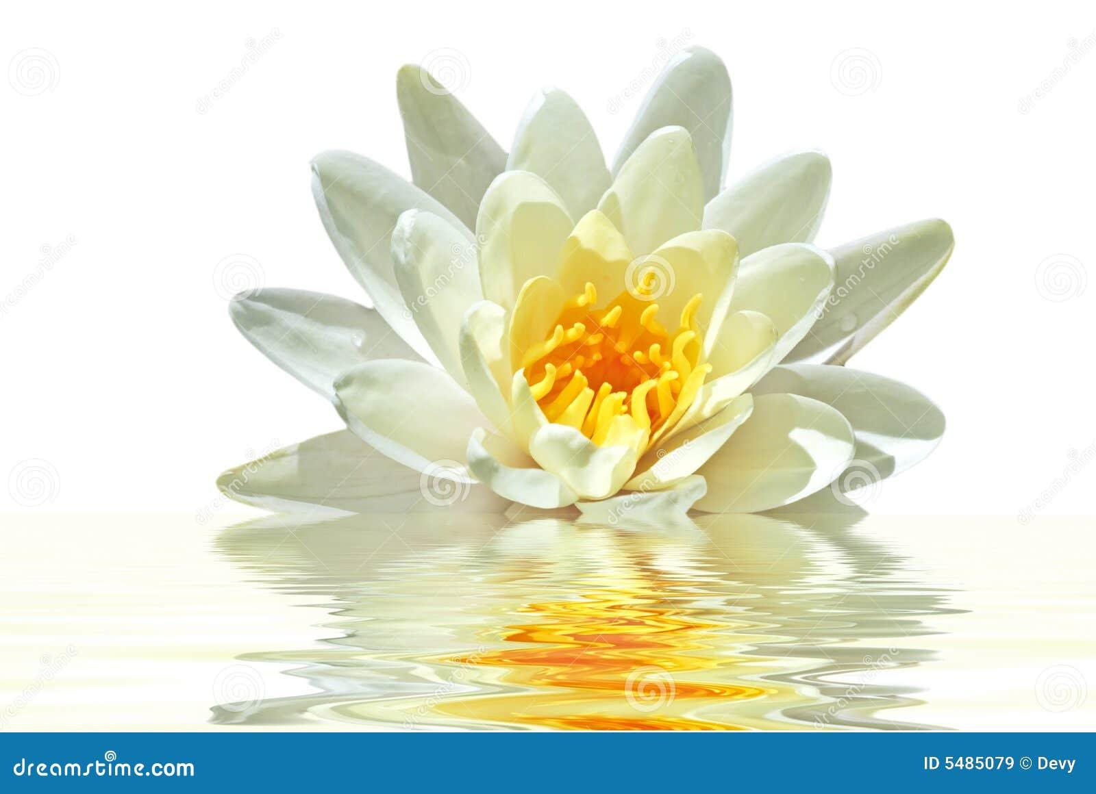 Bello fiore di loto bianco in acqua