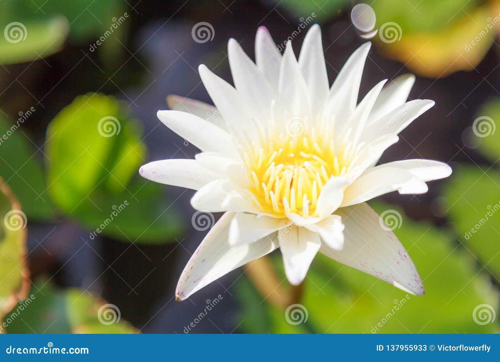 Bello fiore di loto bianco acquatico sbocciante della ninfea di colore nel fondo verde dello stagno Natura, pianta naturale, flor