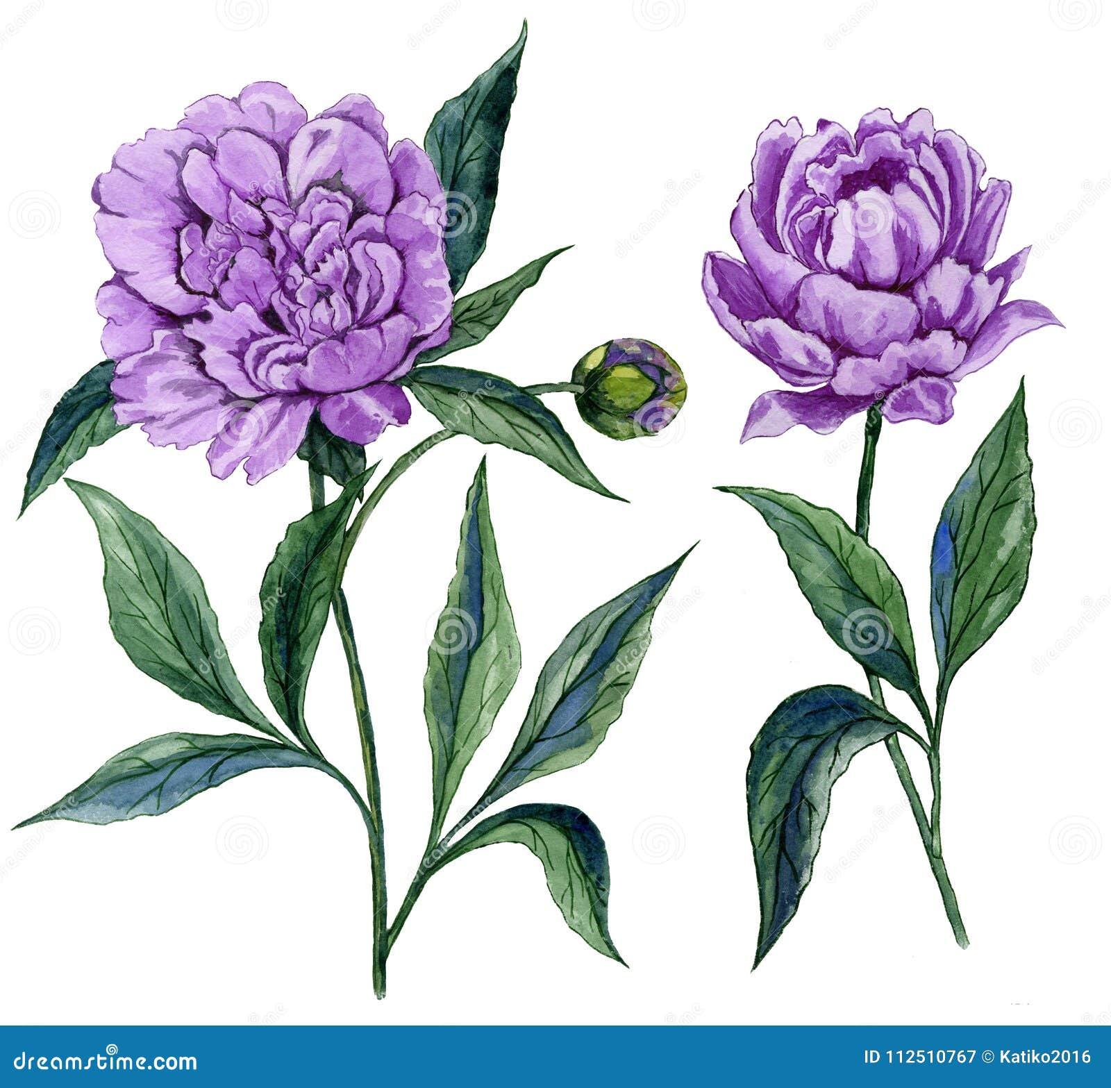 Bello fiore porpora della peonia su un gambo con le foglie verdi Un insieme di due fiori isolati su fondo bianco Pittura dell acq
