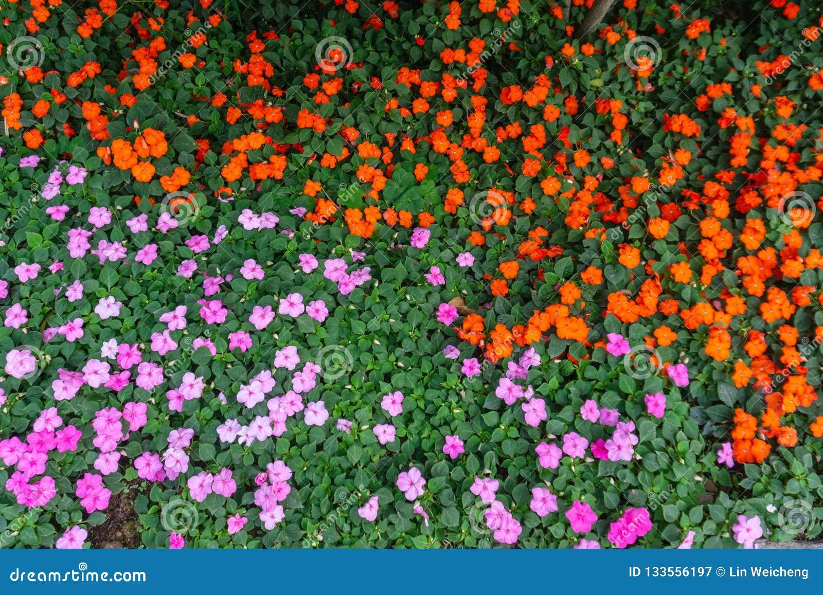 Bello fiore porpora e rosso in giardino