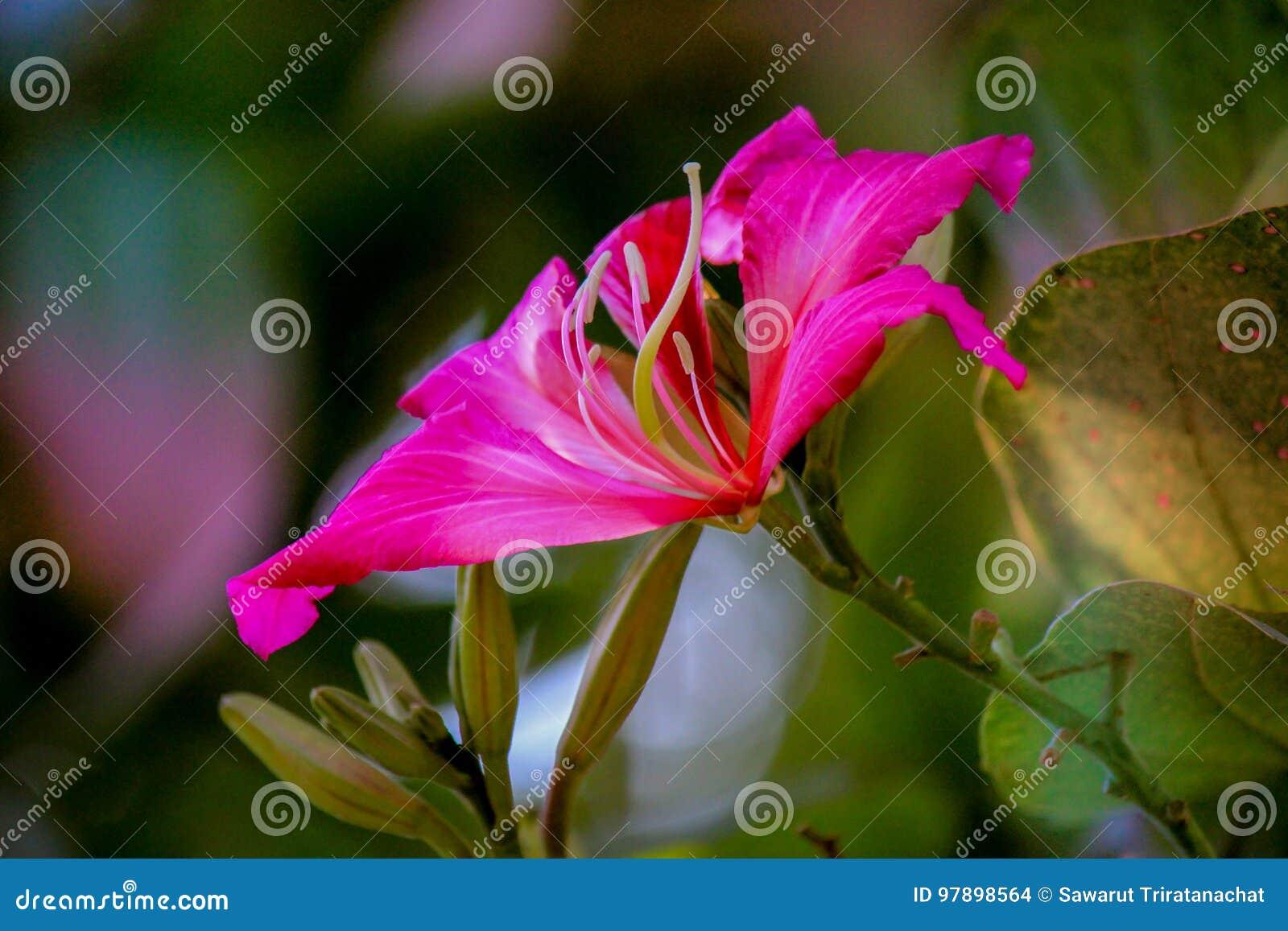 Fiori Rosa Nomi.Bello Fiore Rosa Albero Del Purpureaorchid Di Phanera Albero Di