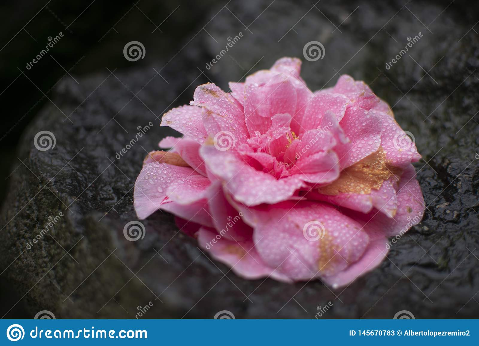 Bello fiore rosa con le gocce di rugiada bagnate