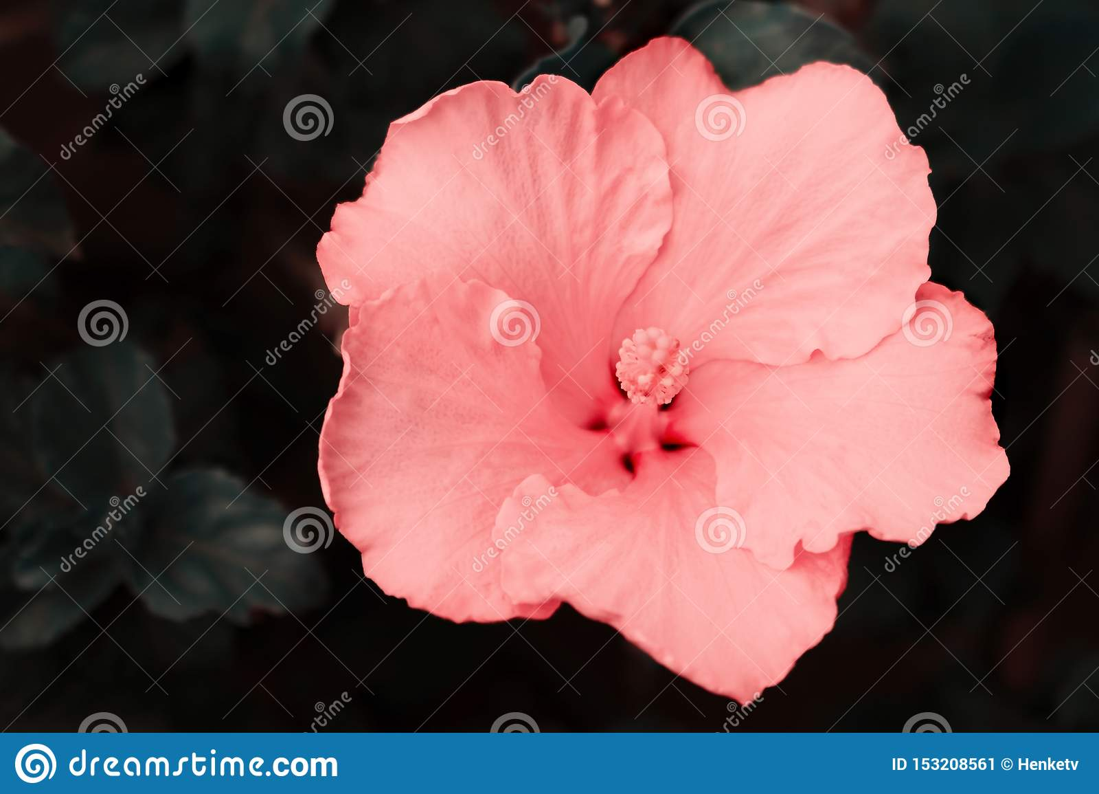 Bello fiore rosa dell ibisco sulla natura su fondo scuro luminoso molle