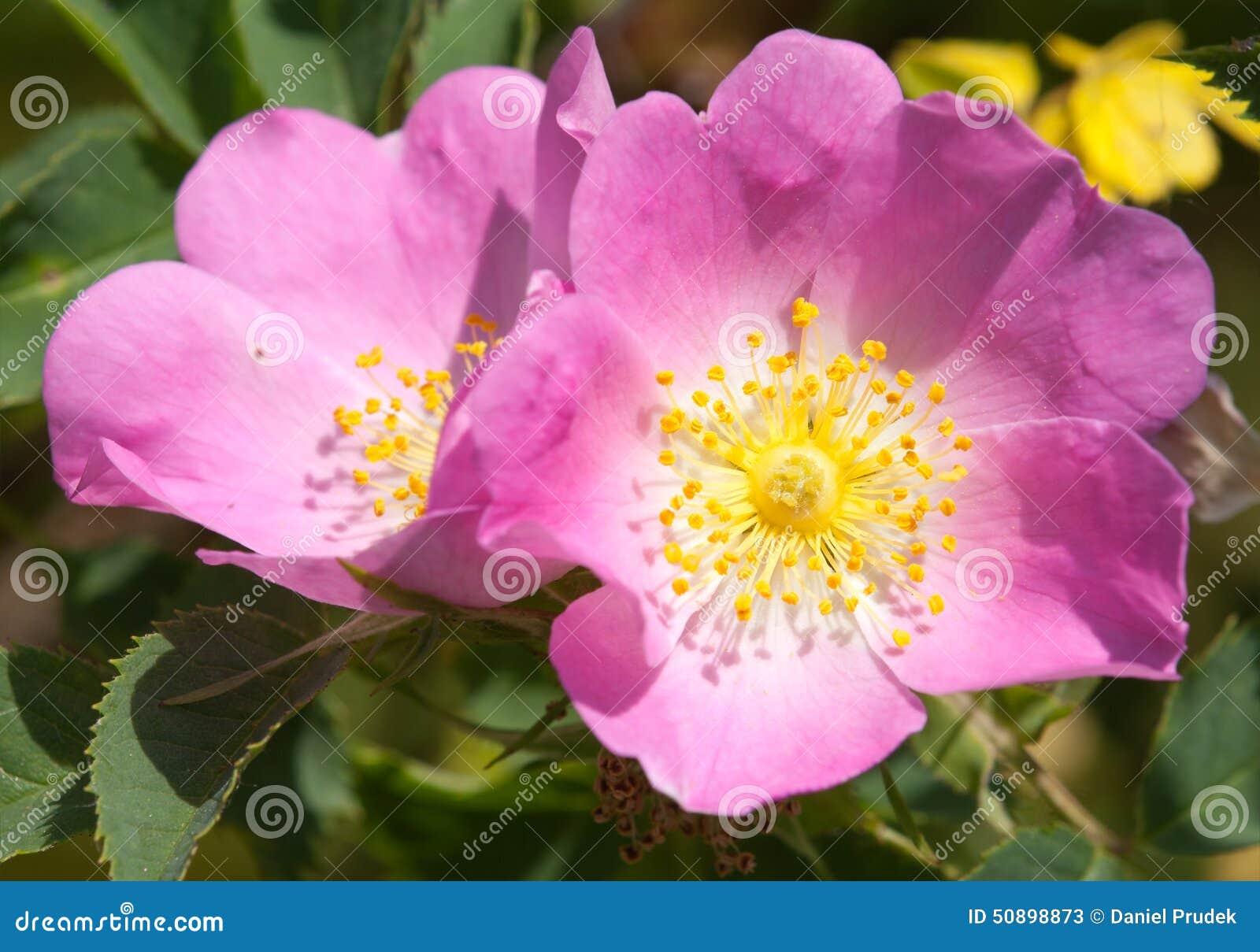 fiori gialli rose