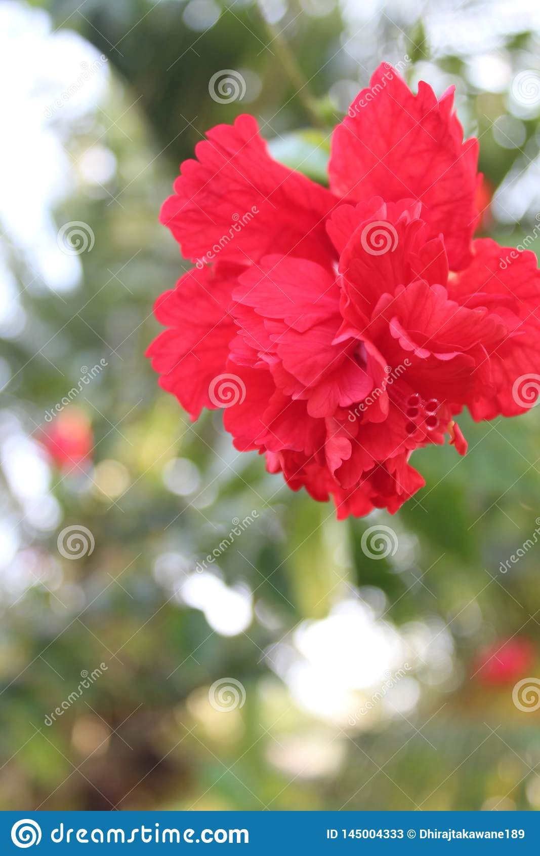 Bello fiore rosso dell ibisco in foresta