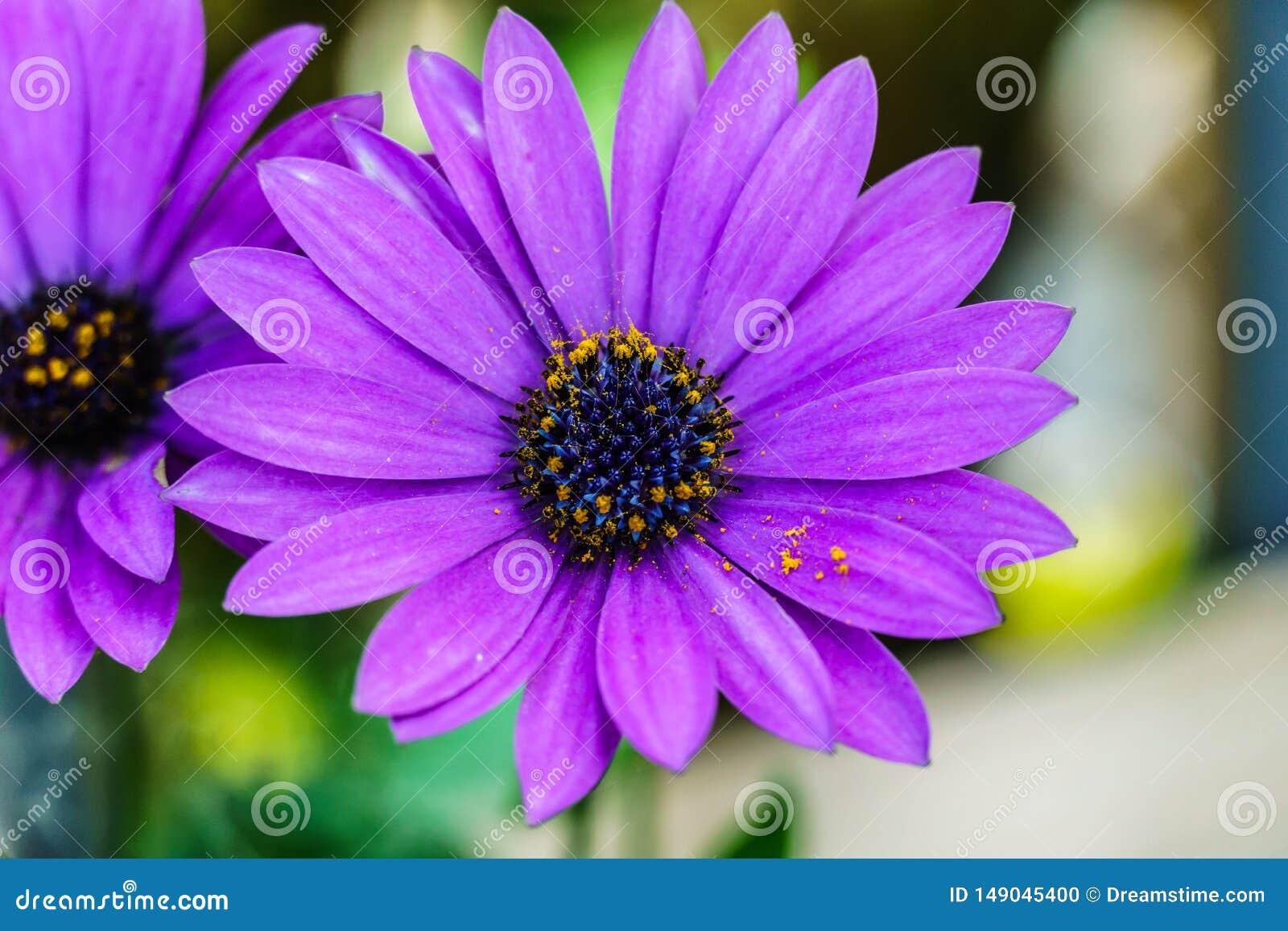 Bello fiore viola, macro colpo