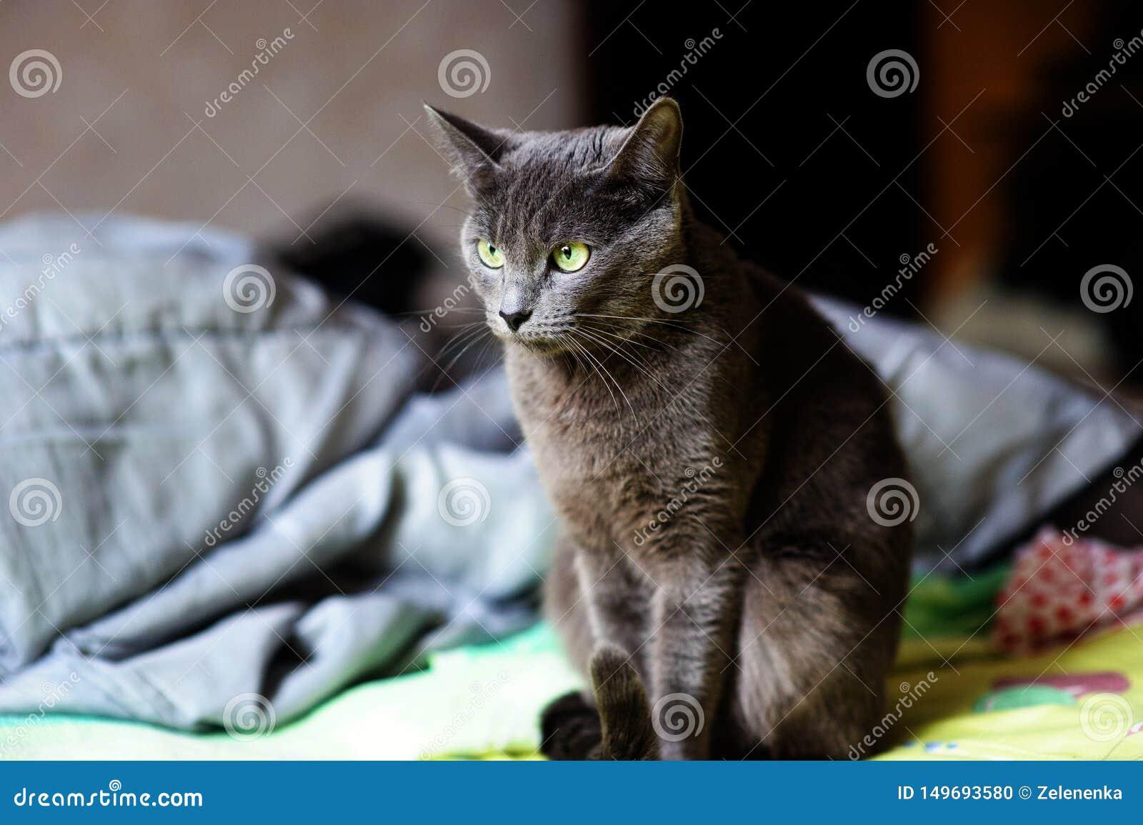 Bello gatto grigio a casa Occhi verdi