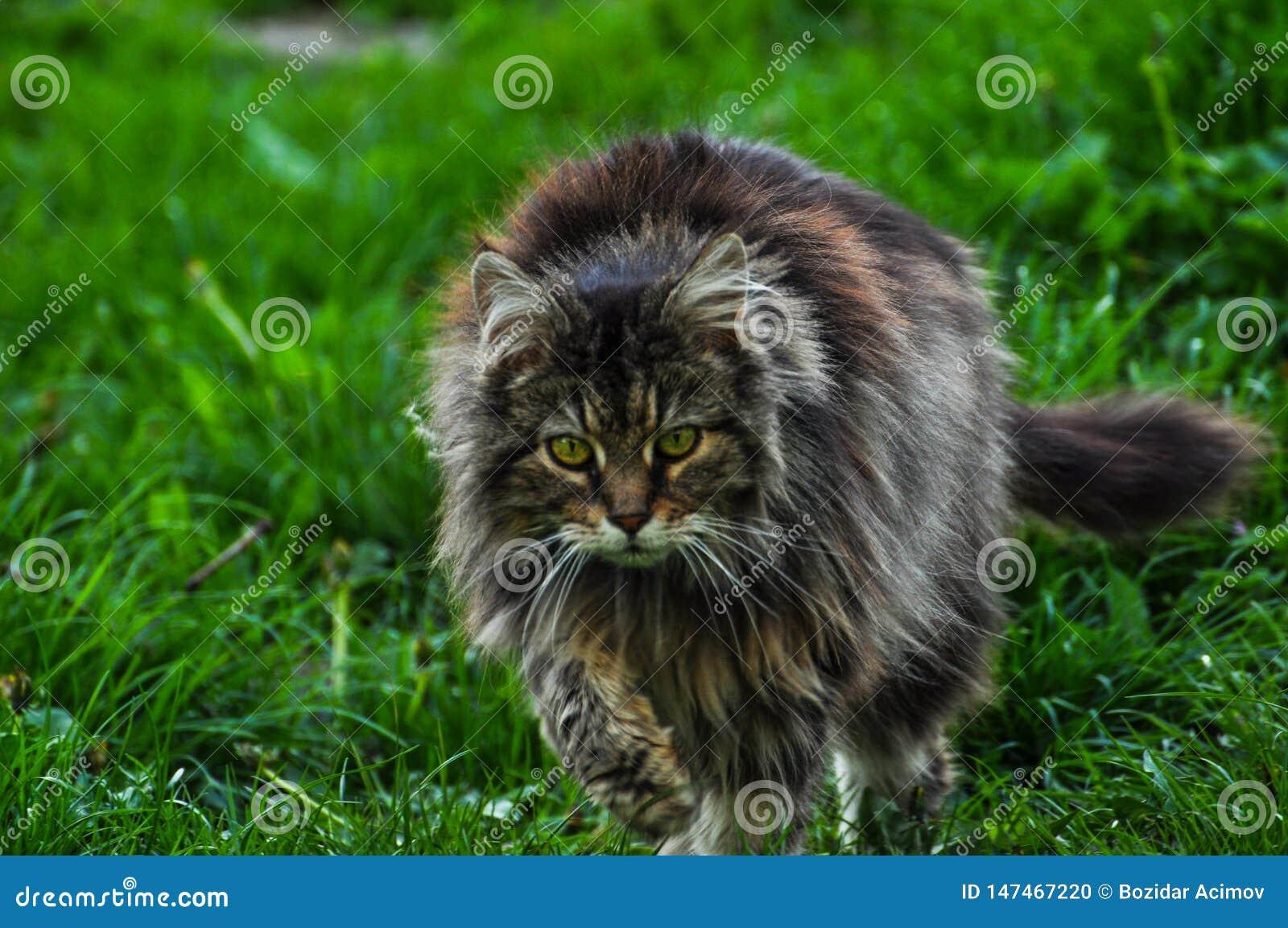 Animali Da Esterno bello gatto grigio che cammina sull'erba verde gray cat
