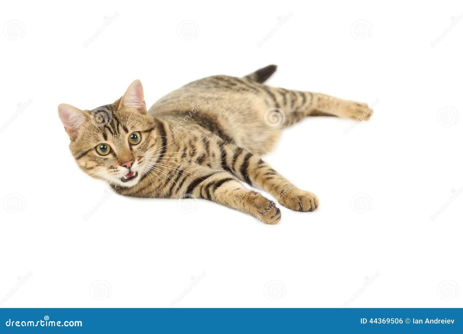 Bello gatto isolato su fondo bianco