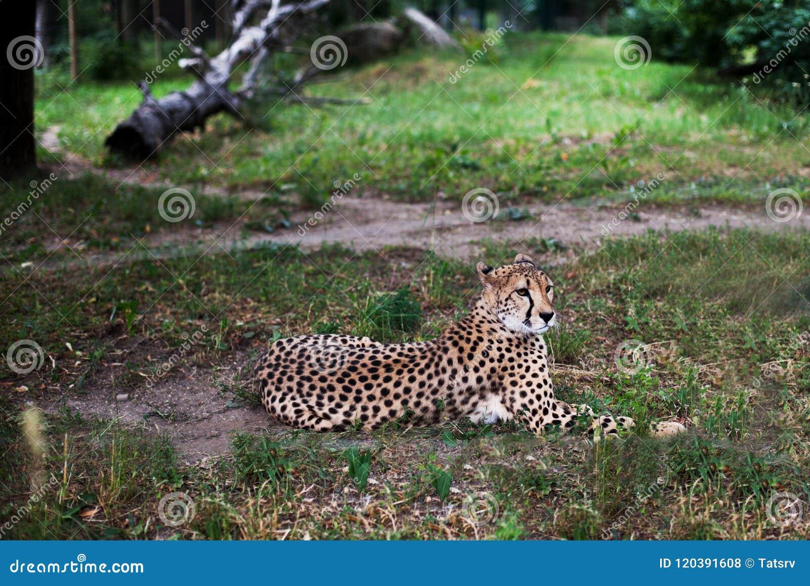 Bello ghepardo, jubatus di acinonyx riposantesi sull erba verde ed esaminante macchina fotografica primo piano vigilante di gepar