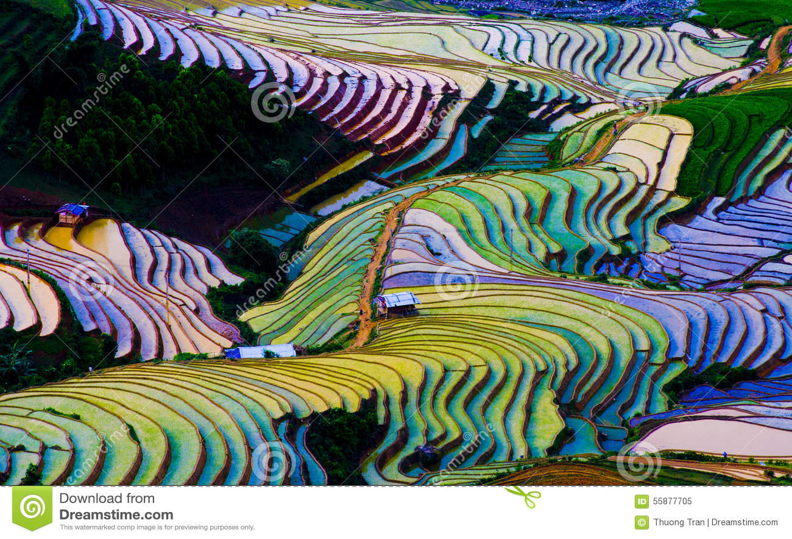 Bello giacimento a terrazze del riso in MU Cang Chai, Vietnam