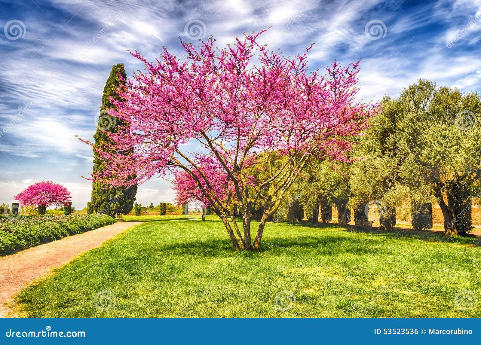 Bello giardino con la ciliegia i cipressi e di olivo for Acquisto piante olivo