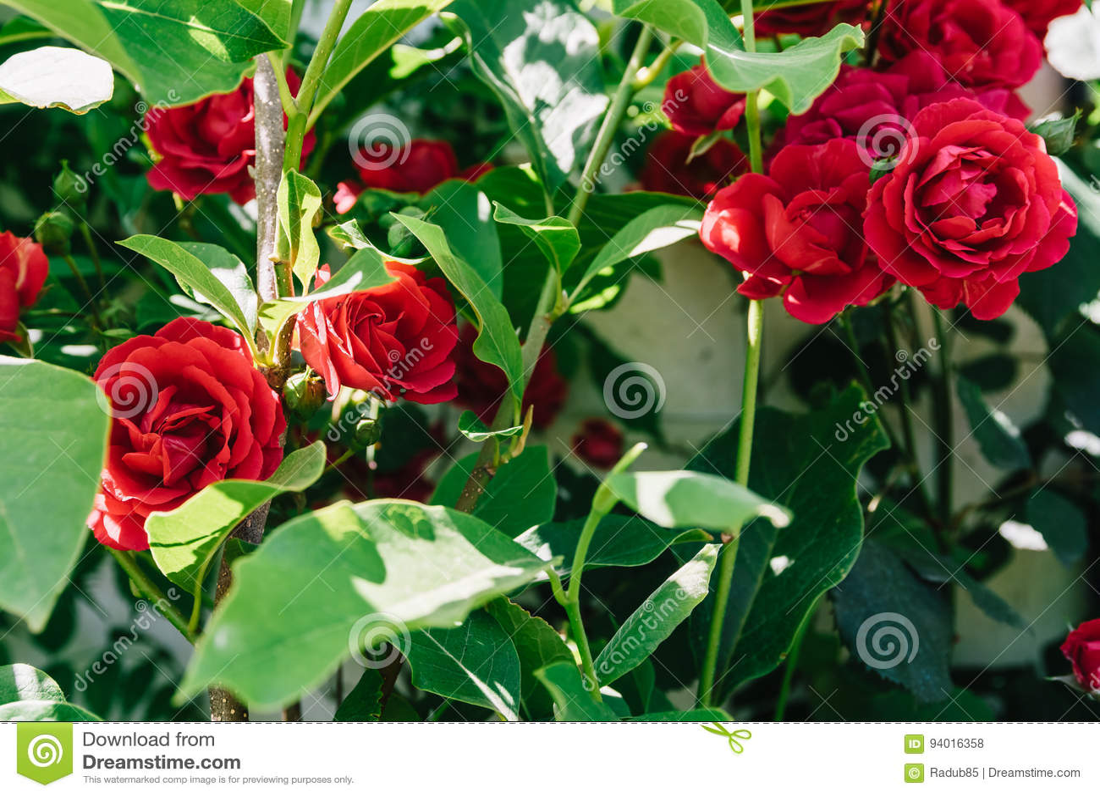Bello giardino di rose rosse fotografia stock immagine di foglio