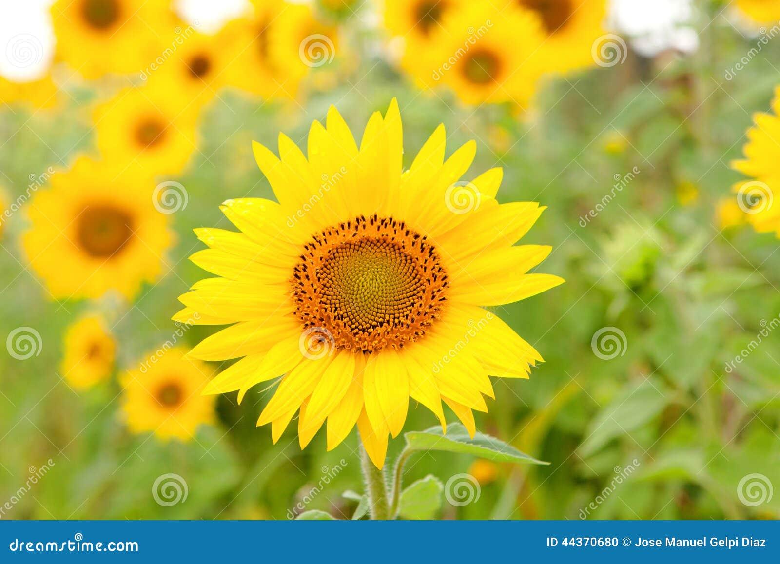 Bello girasole con giallo luminoso