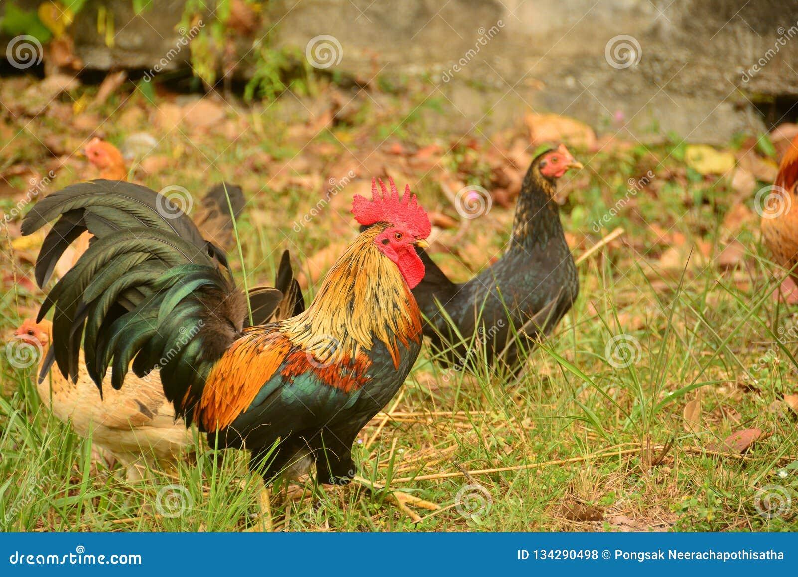 Bello grande gallo con il grande pettine rosso