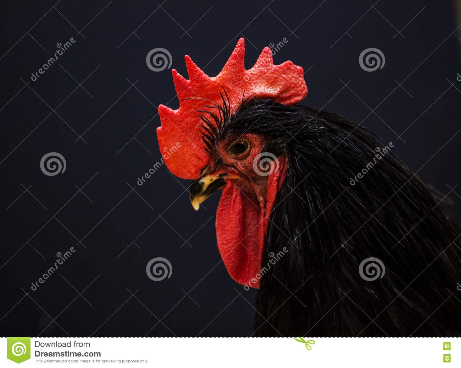 immagini grande gallo nero