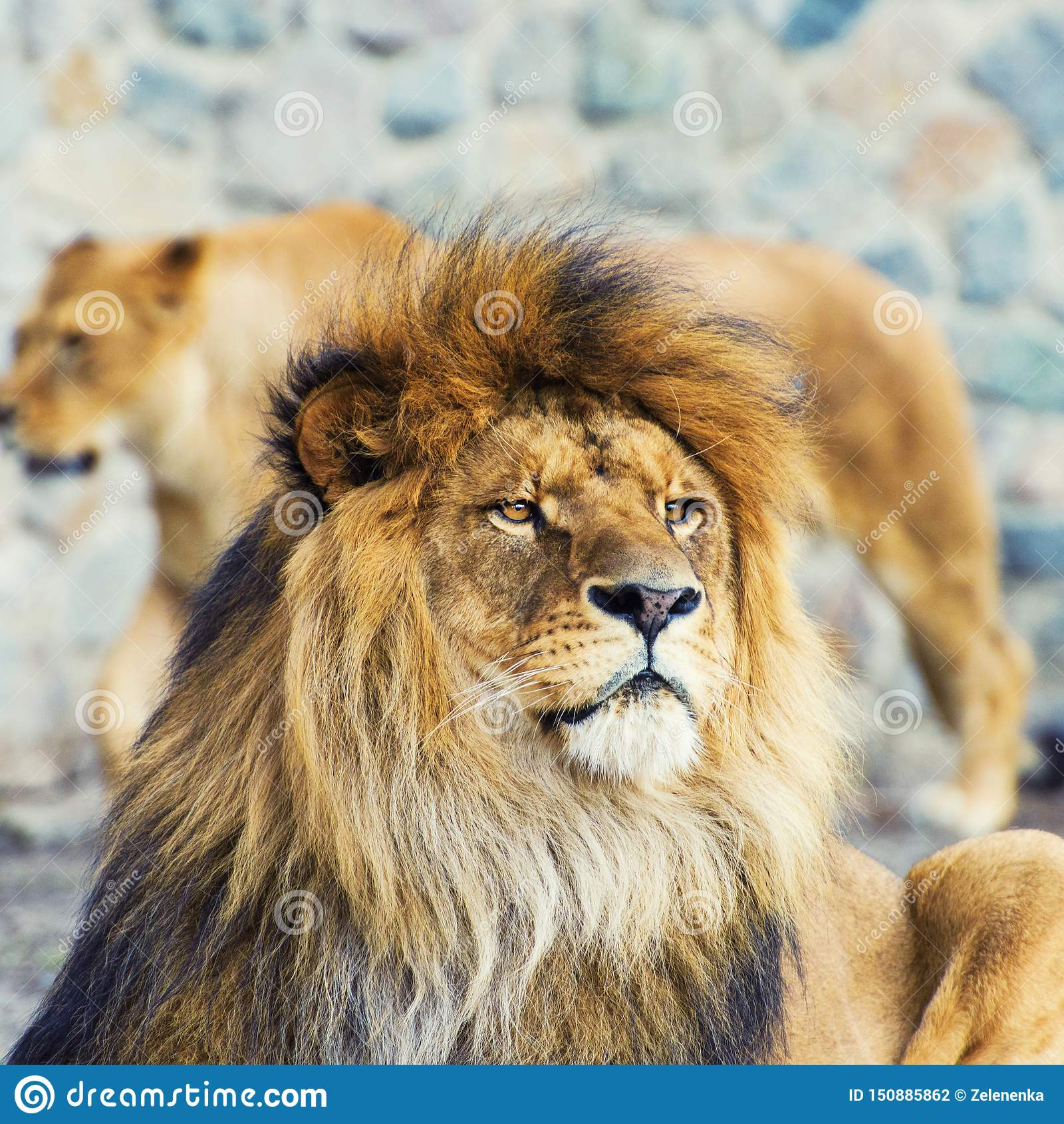 Bello leone vigoroso