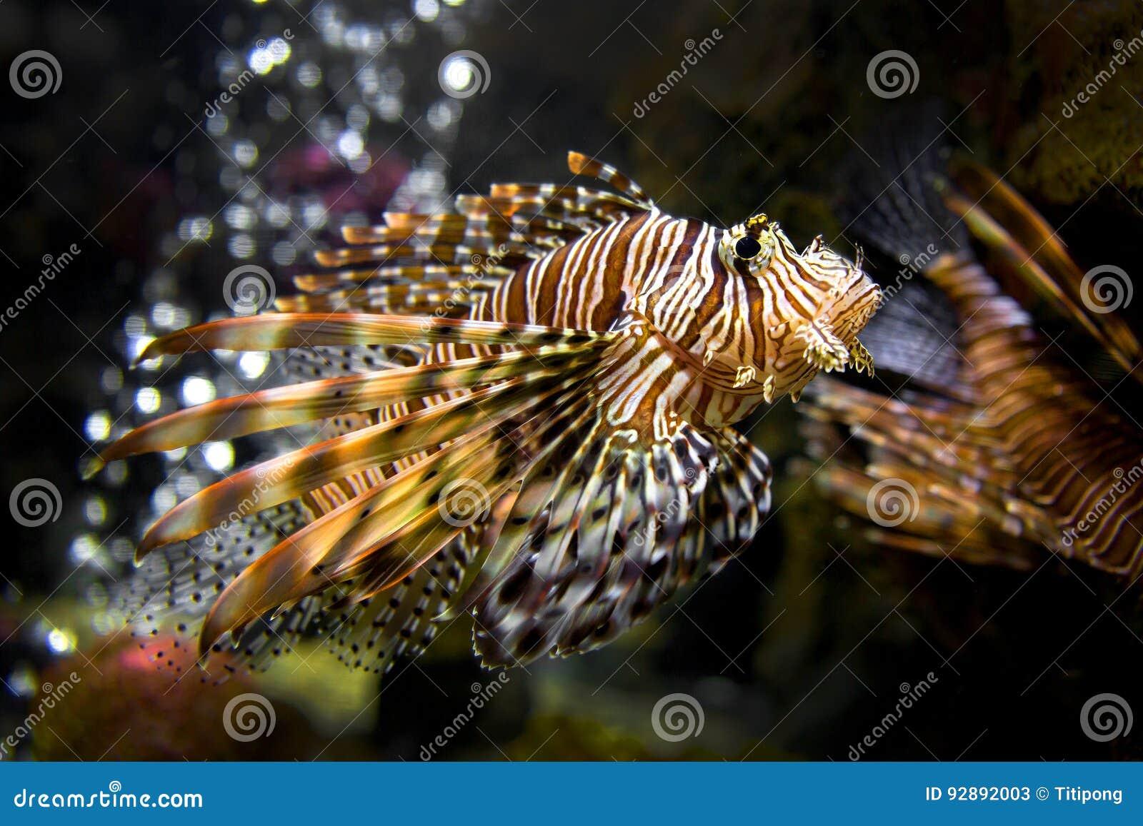 Bello Lion Fish Pterois Swimming Alone in un grande acquario