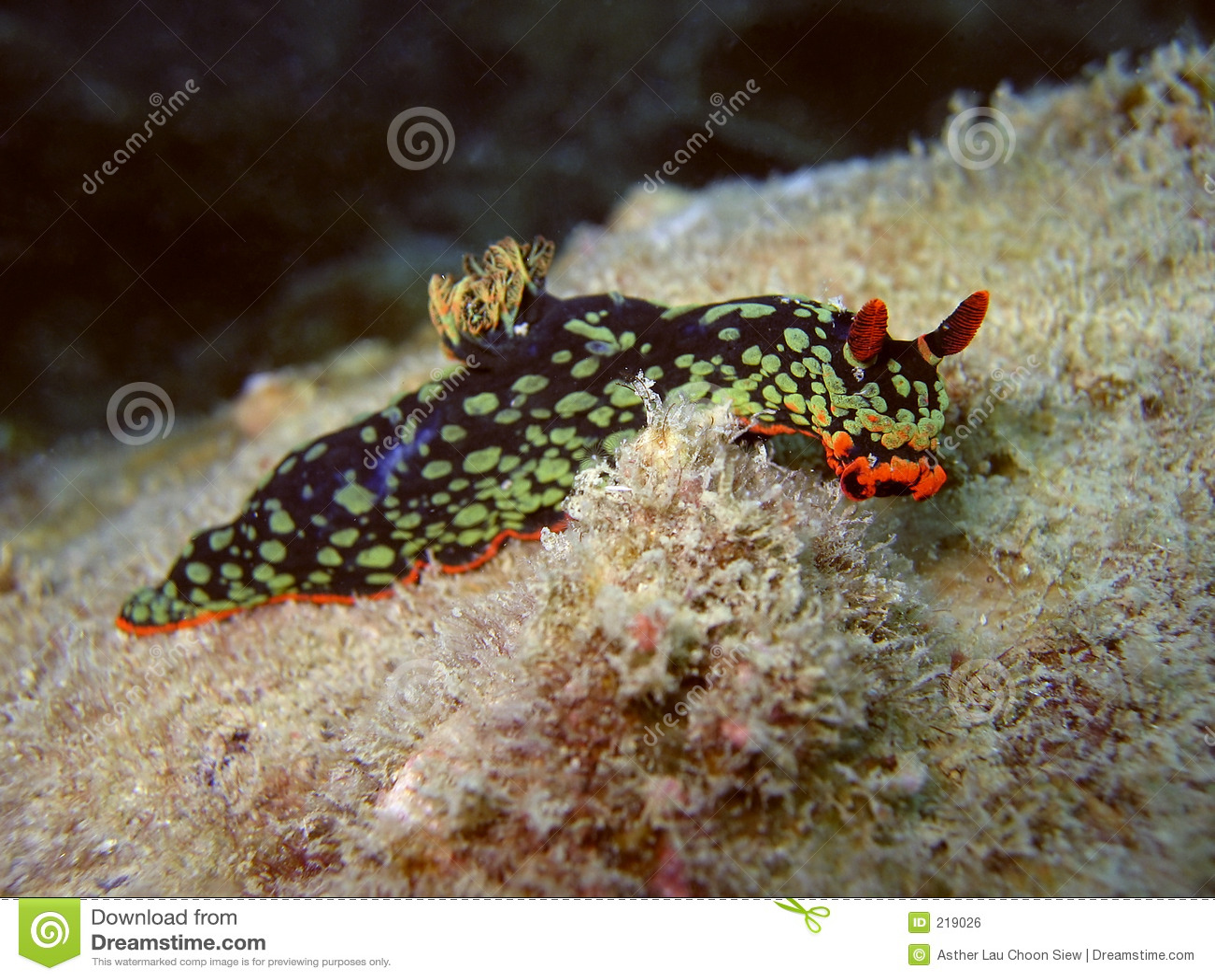 Bello Nudibranch