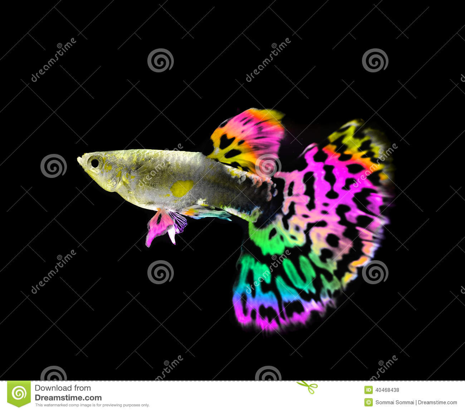 Bello nuoto del pesce del guppy