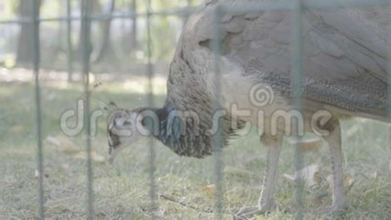 Bello pavone splendido nello zoo stock footage