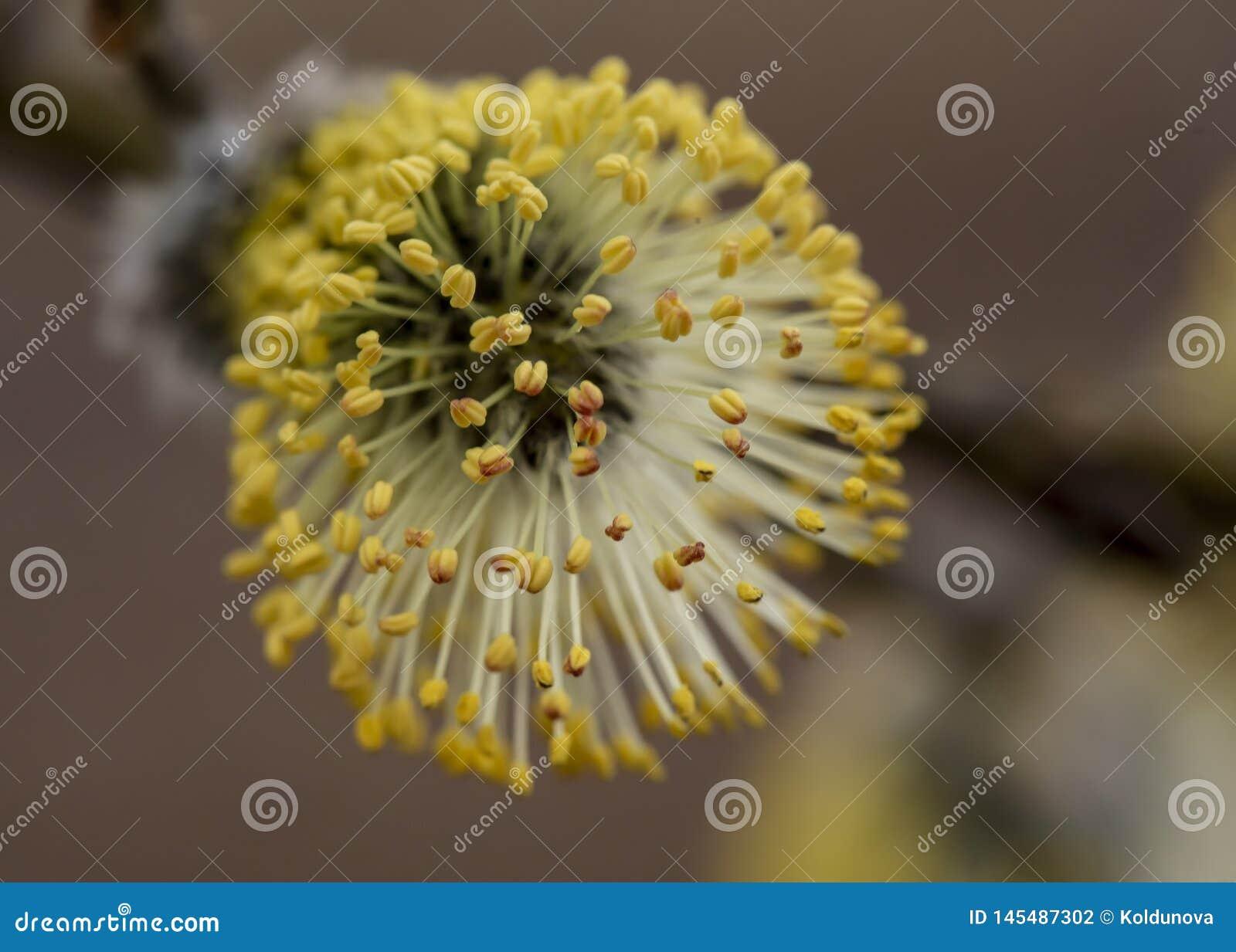 Bello, rene giallo lanuginoso di un salix caprea del salicone con polline, su una parte anteriore tenue, un giorno di molla caldo