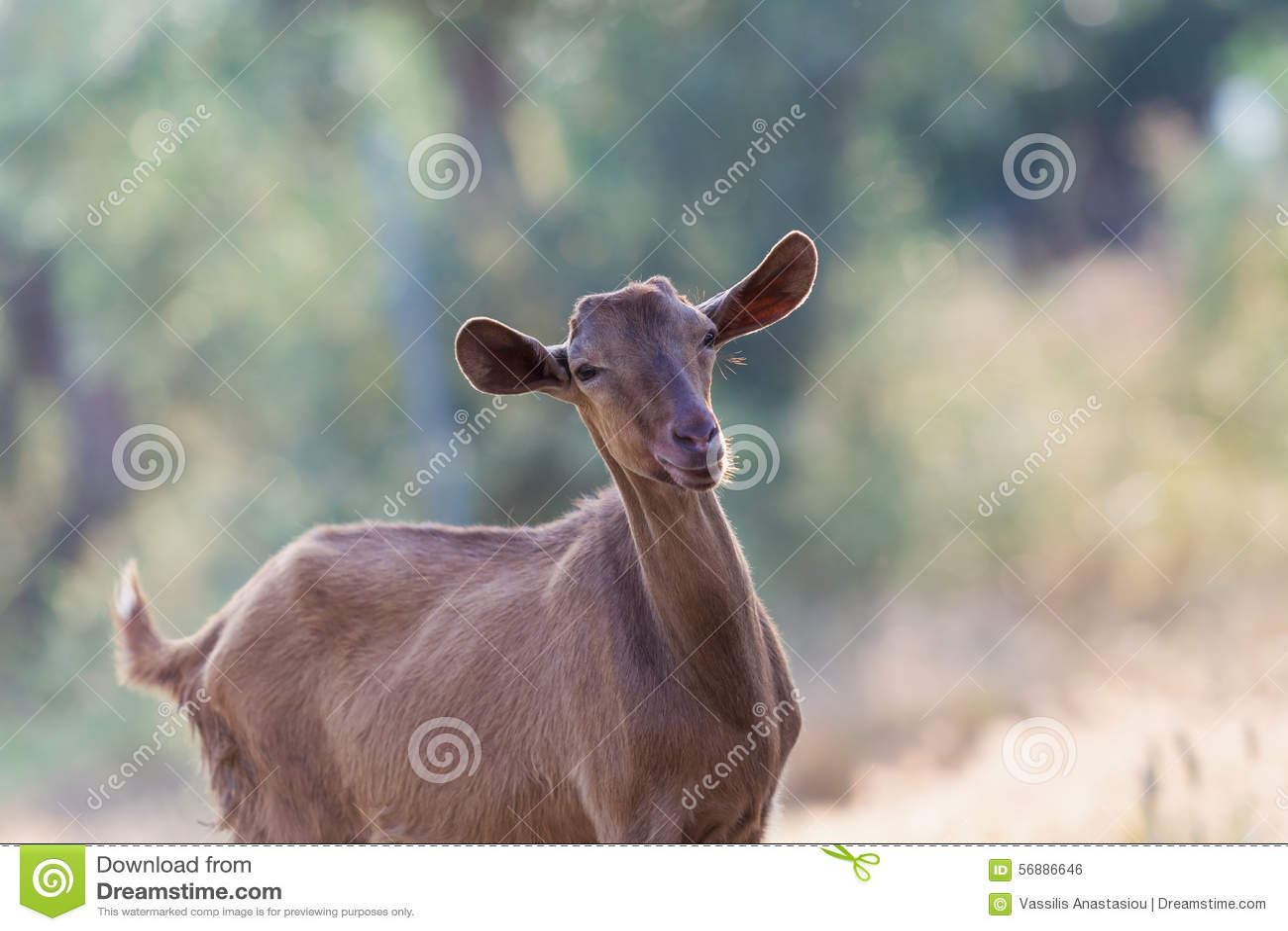 Bello ritratto marrone della capra