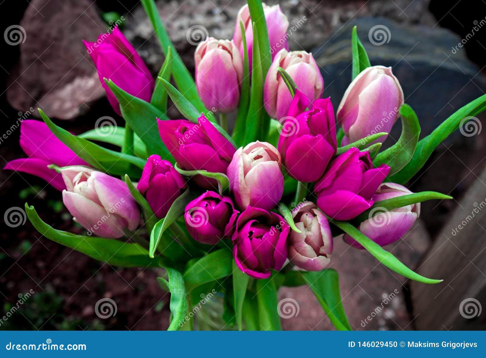 Bello rosa e fiori porpora del mazzo dei tulipani