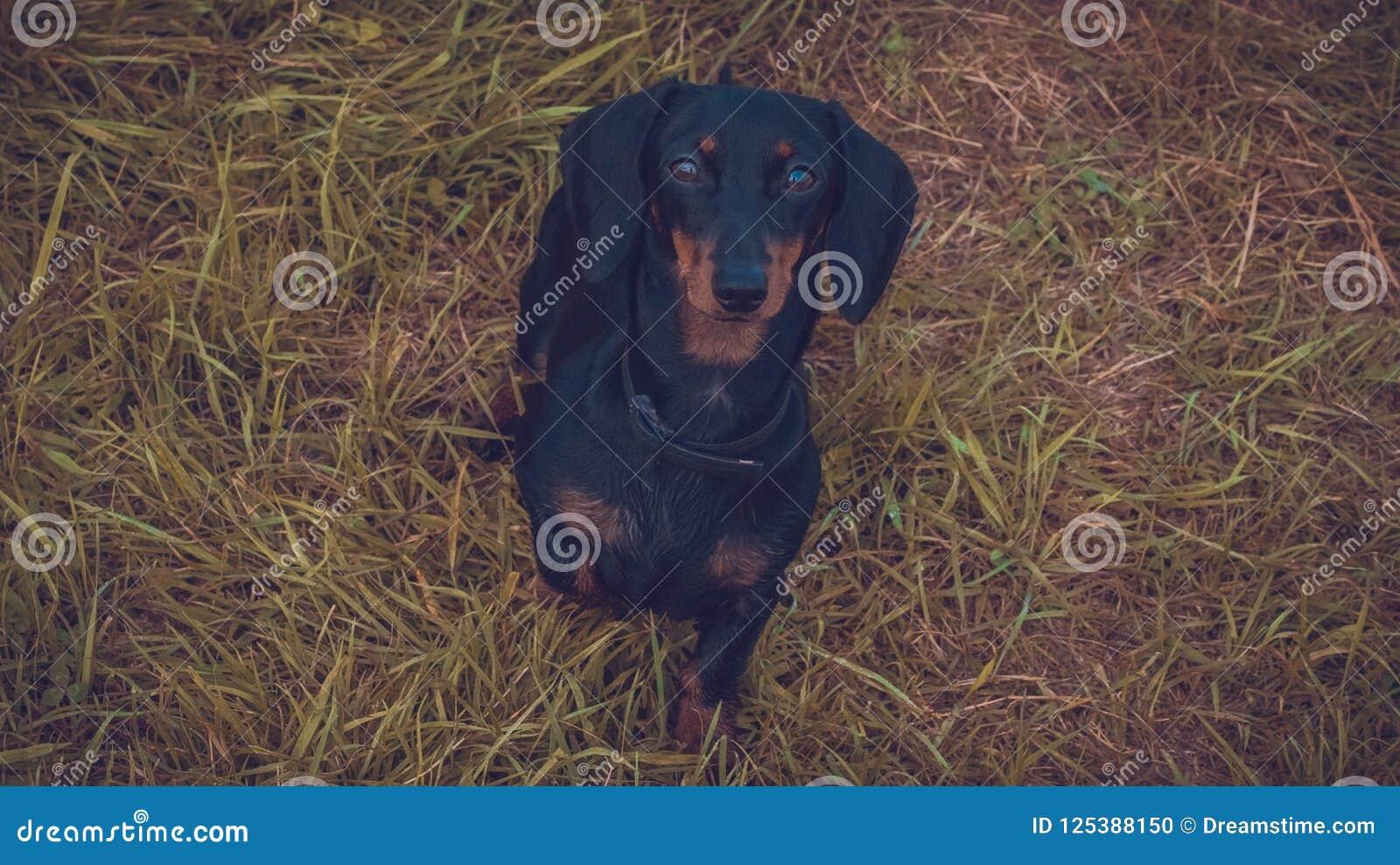 Bello sguardo del cane