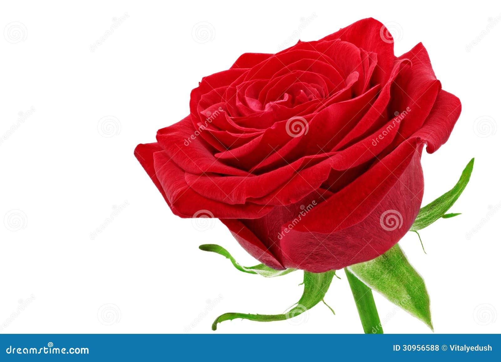Bello singolo fiore della rosa rossa. Isolato.