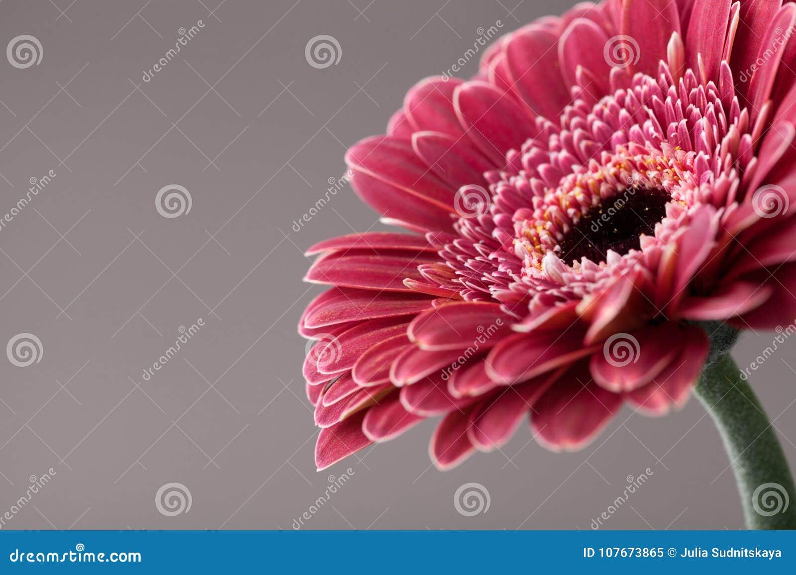 Bello singolo primo piano del fiore della margherita della gerbera Cartolina d auguri per il giorno di compleanno, della madre o