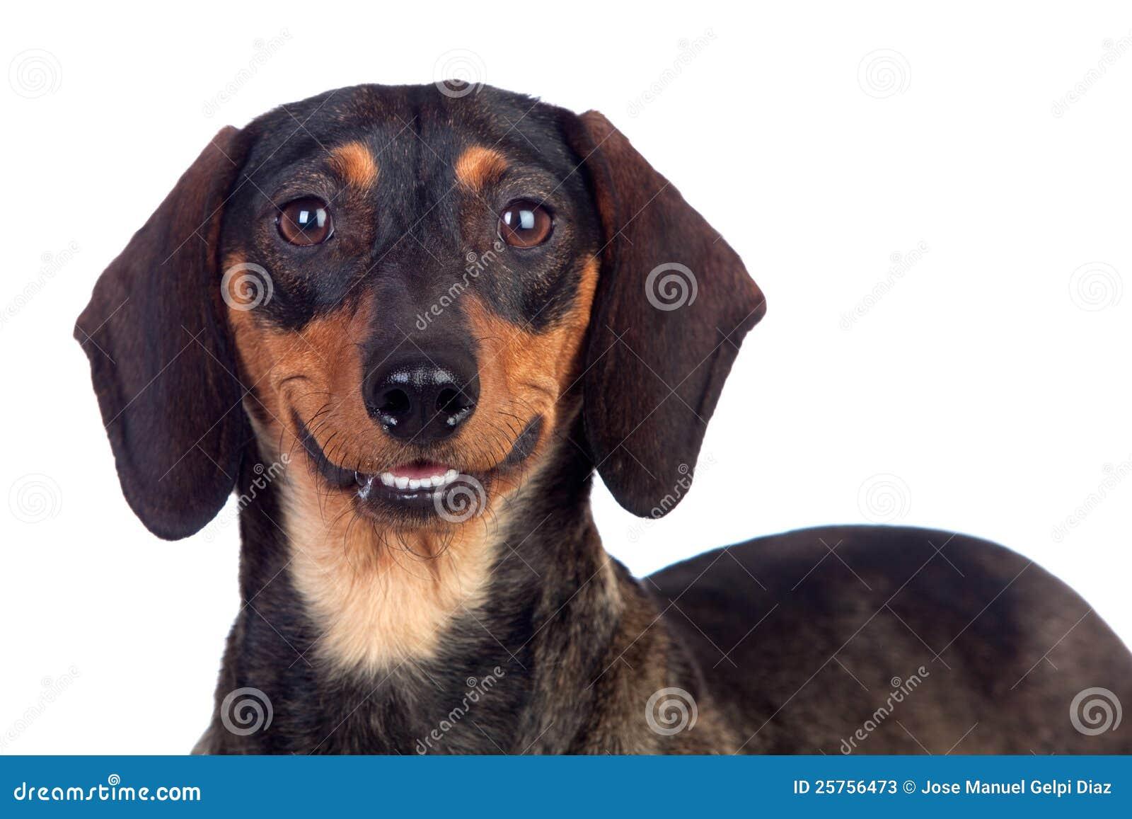 Bello sorridere del teckel del cane